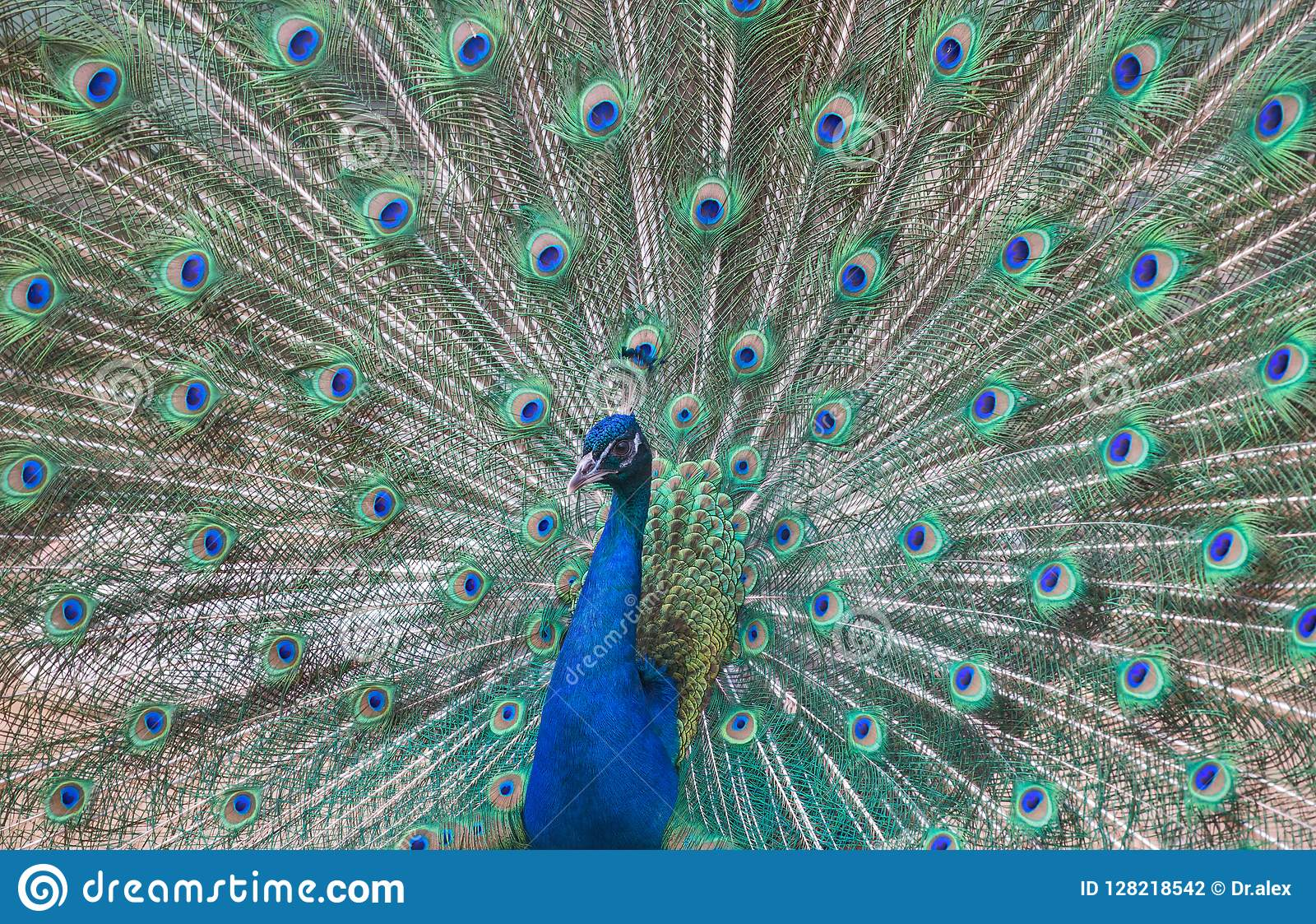 Красивый павлин с зеленым и голубым кабелем
