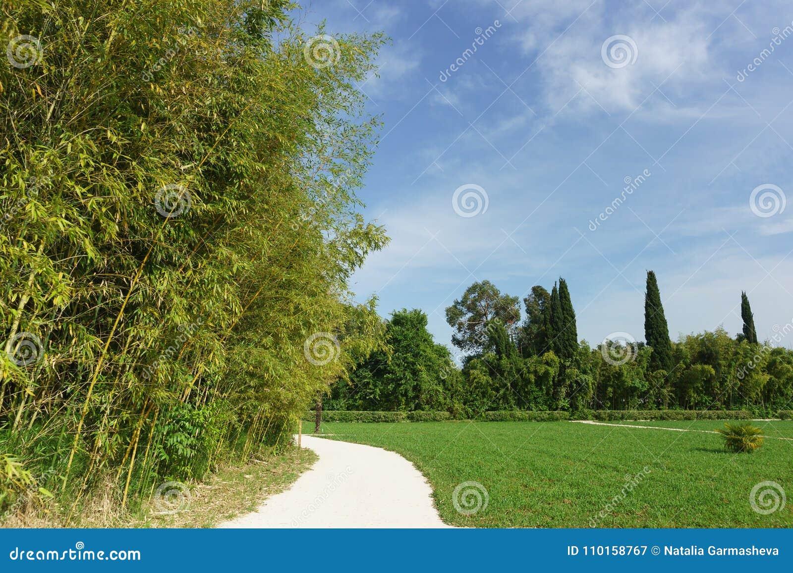 Красивый парк города с чащами бамбук-лист-подателя зеленоголубого lat Viridiglaucescens Phyllostachys