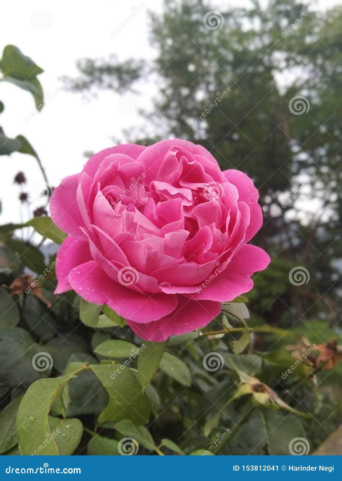 Красивый пинк поднял цветок с листьями
