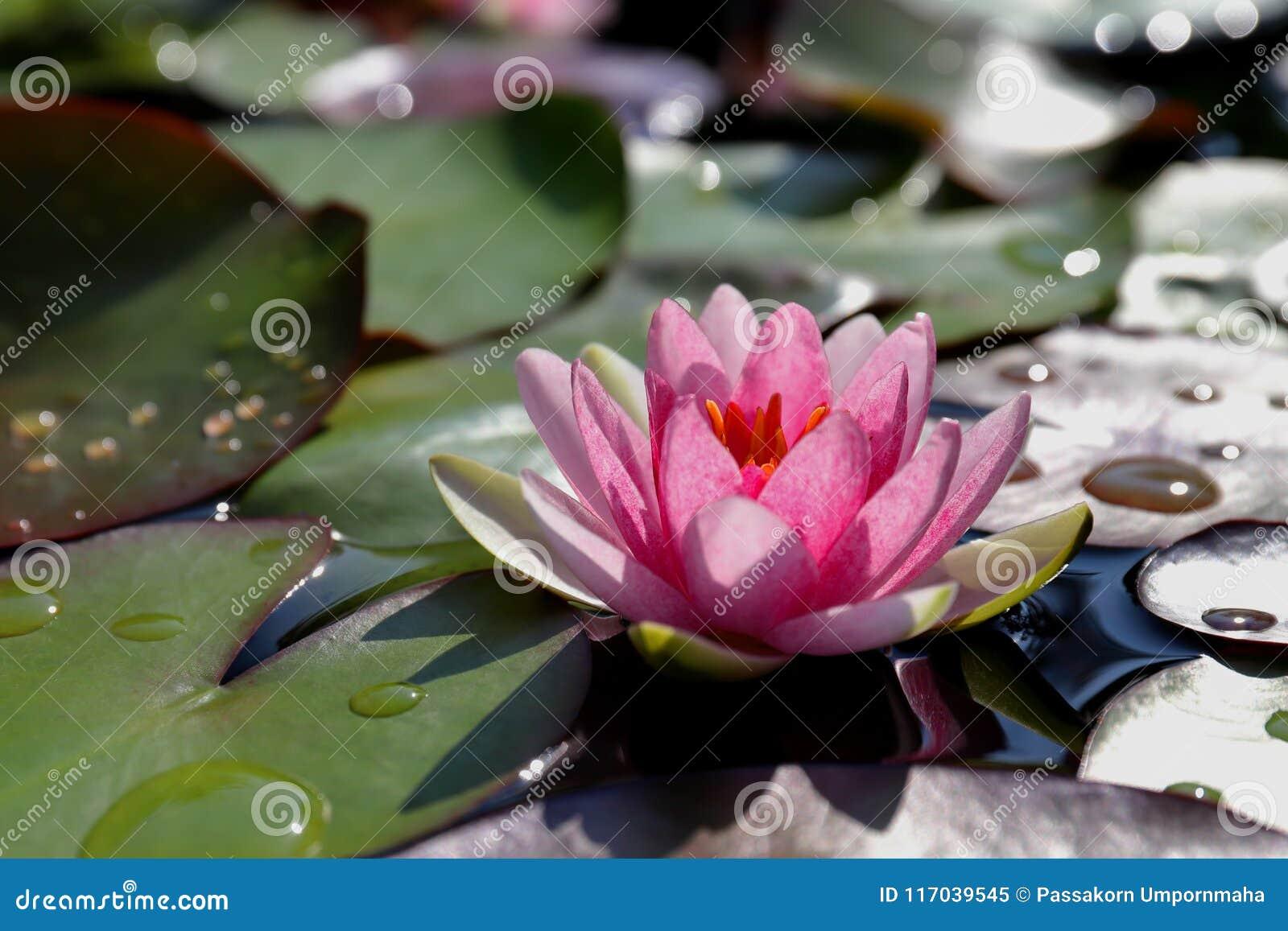 Красивый розовый лотос, водоросль в пруде