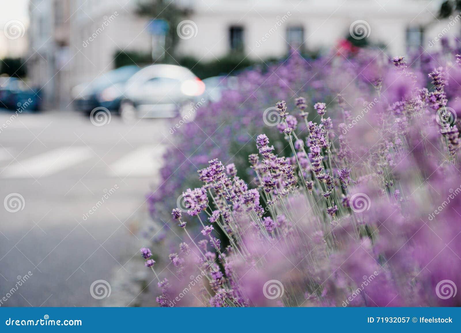 Красивый сад лаванды с свежим и красочным lavende