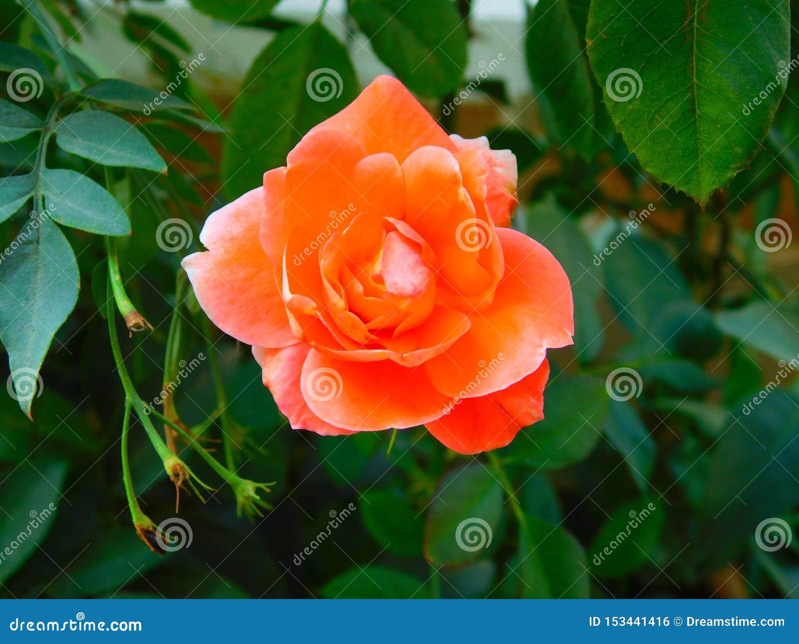 Красивый свежий оранжевый розовый цветок