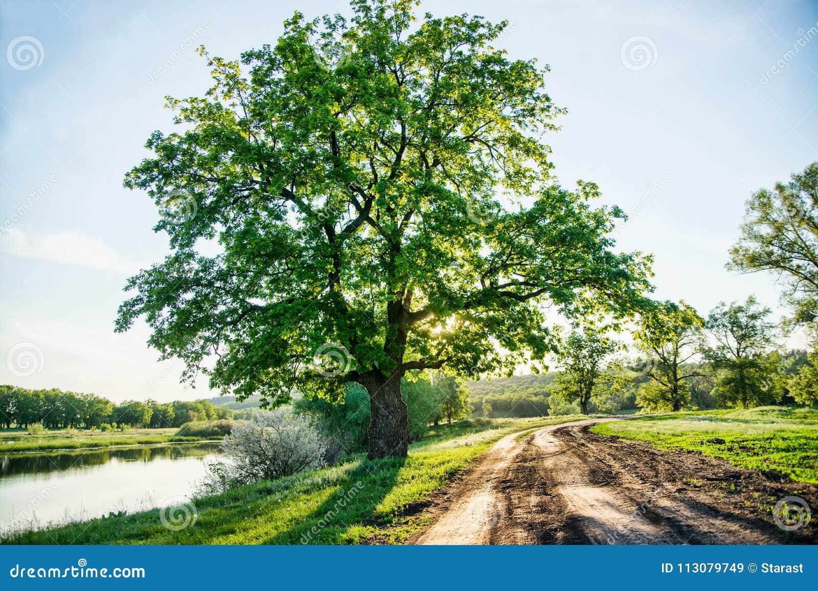 Красивый сельский ландшафт, проселочная дорога и огромное зеленое дерево, большой исконный дуб