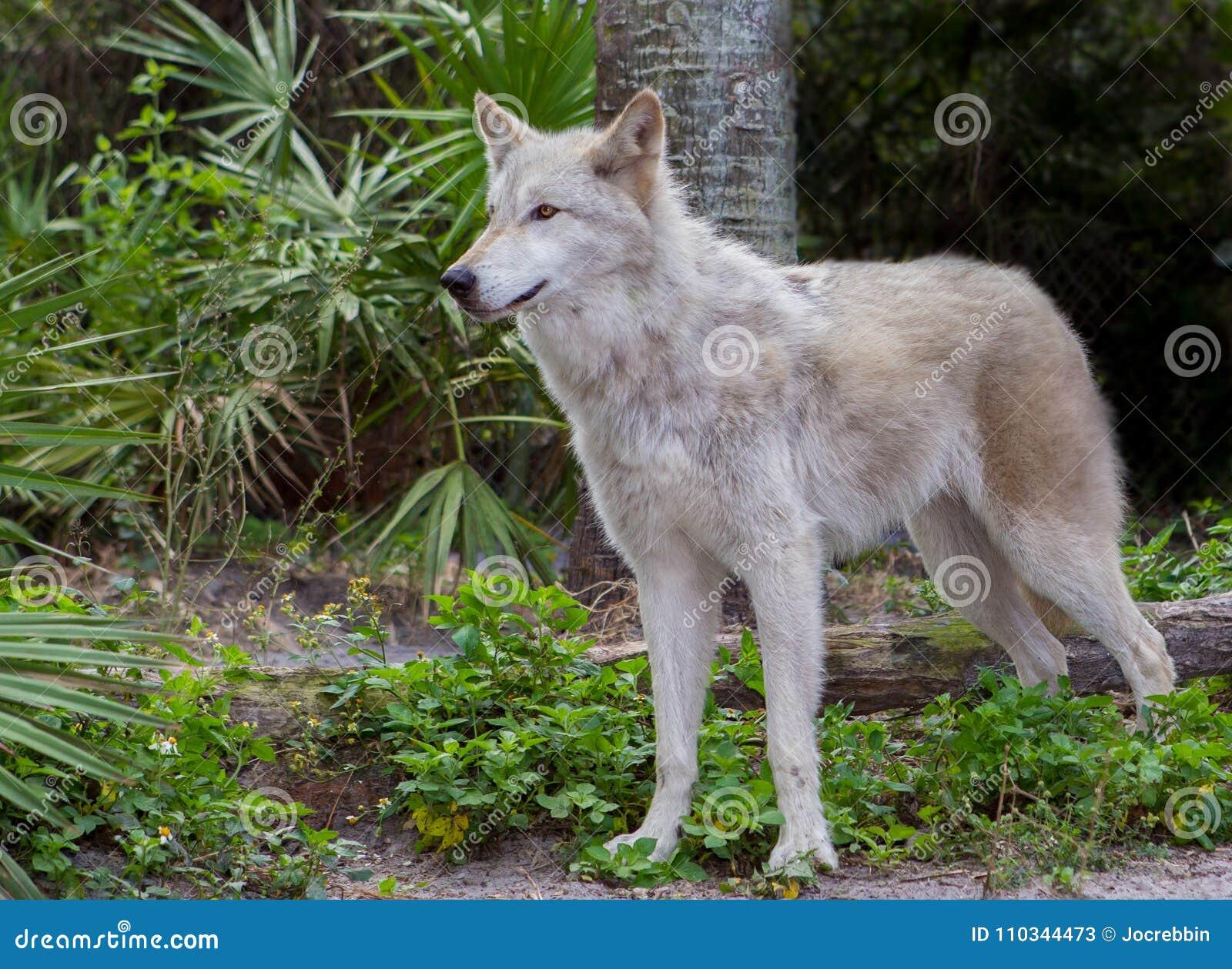 Красивый серый волк ищет опасность