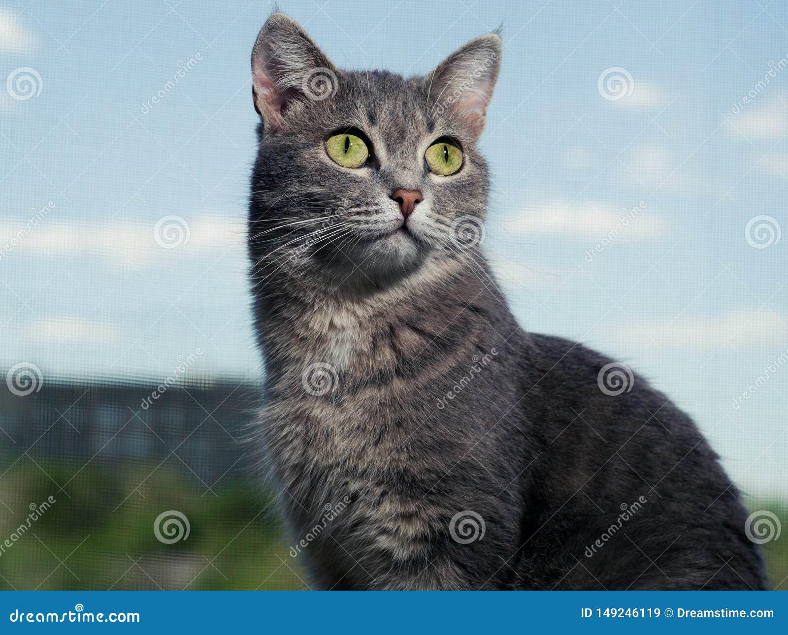 Красивый серый зелен-наблюданный кот с черно-белыми нашивками сидит на windowsill и смотрит немножко выше чем