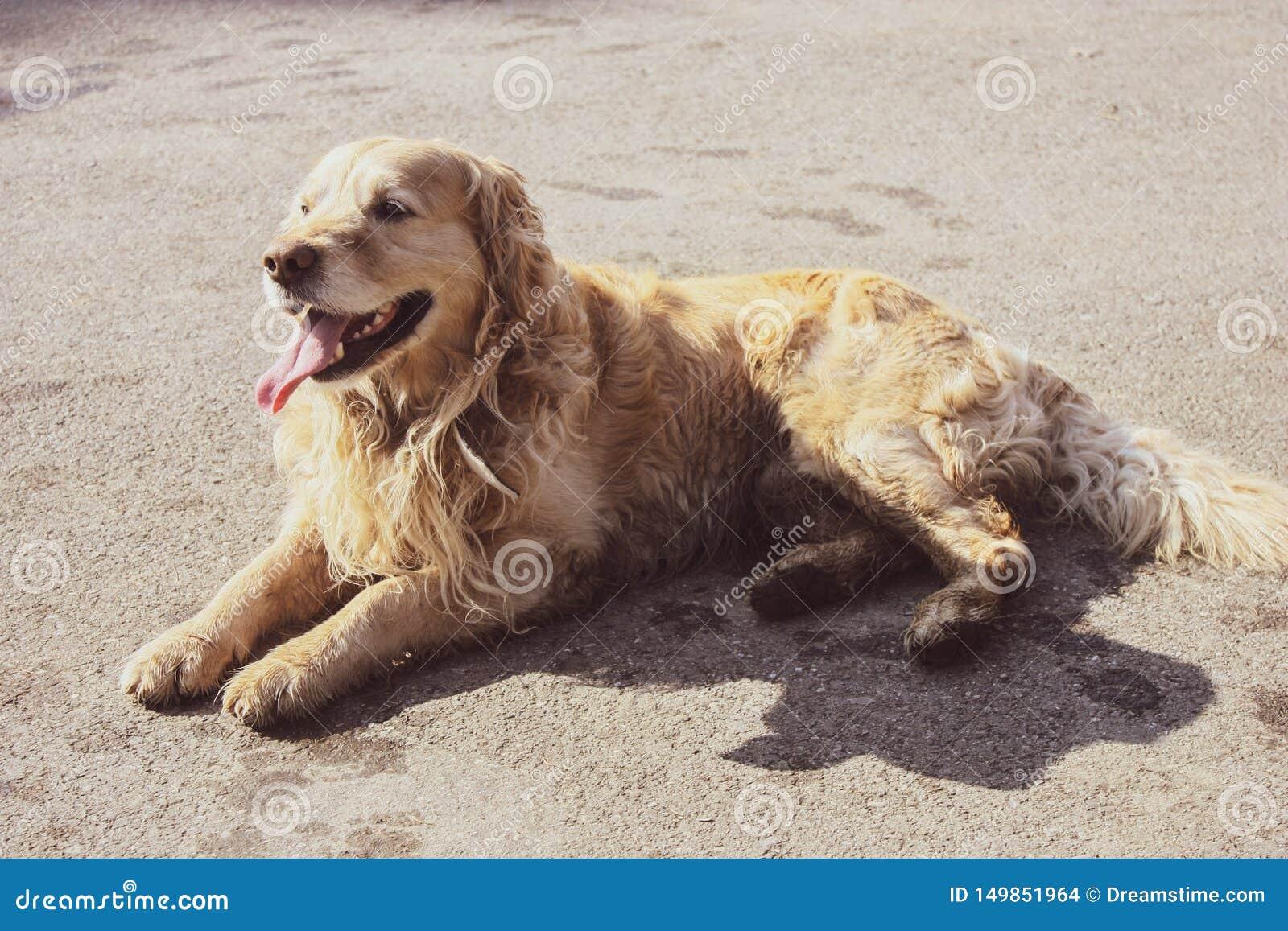 Красивый счастливый щенок золотого retriever