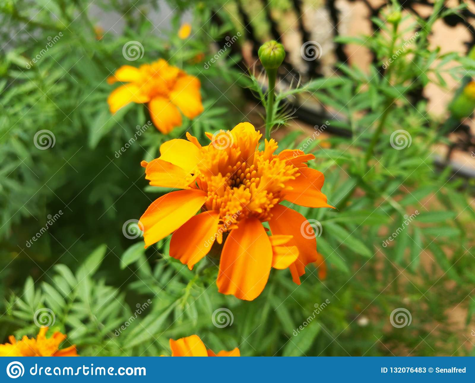 Красивый темный желтый цветок Tagetes