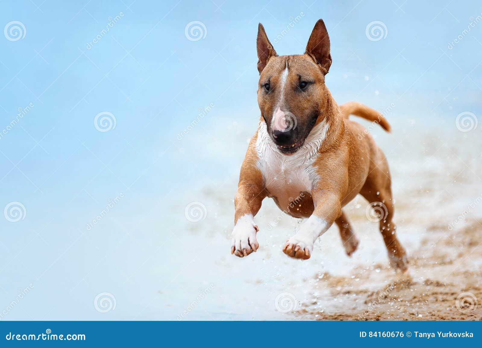 Красивый терьер быка красной и белой породы собаки мини