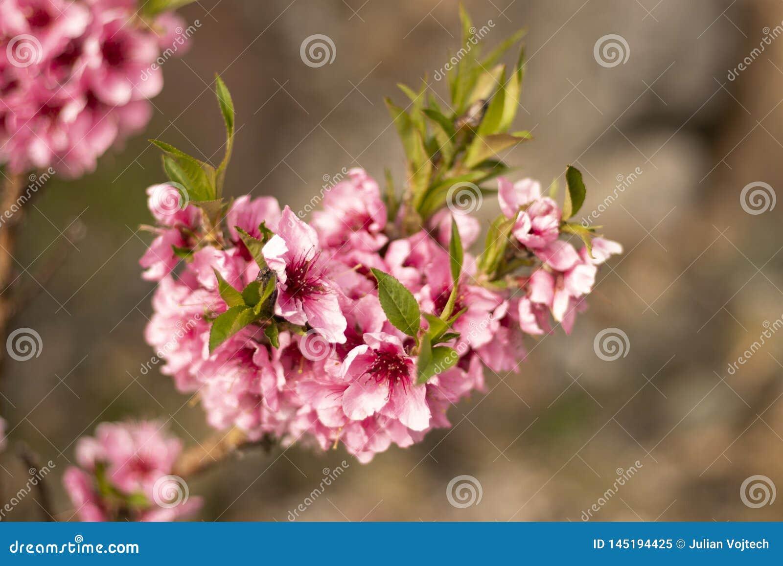 Красивый цветок вишневого цвета в зацветать