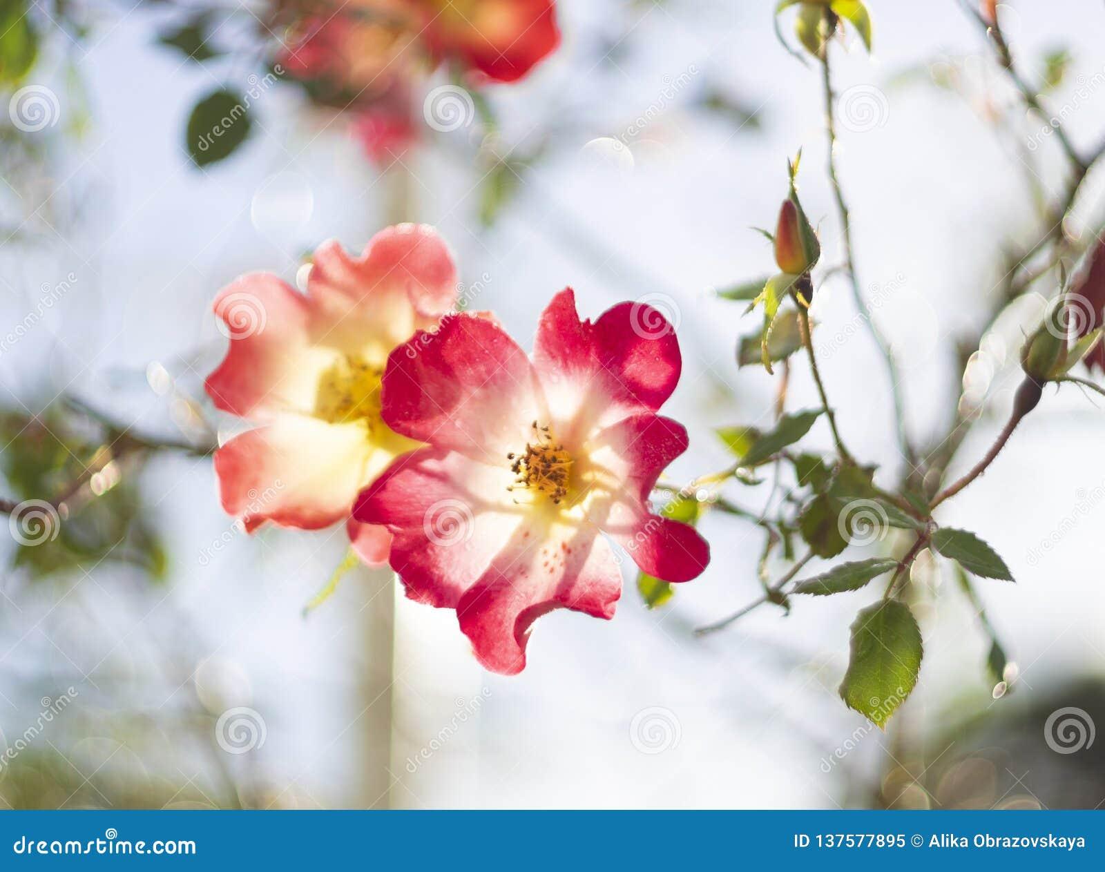 Красивый цветок красной розы на солнечный теплый день