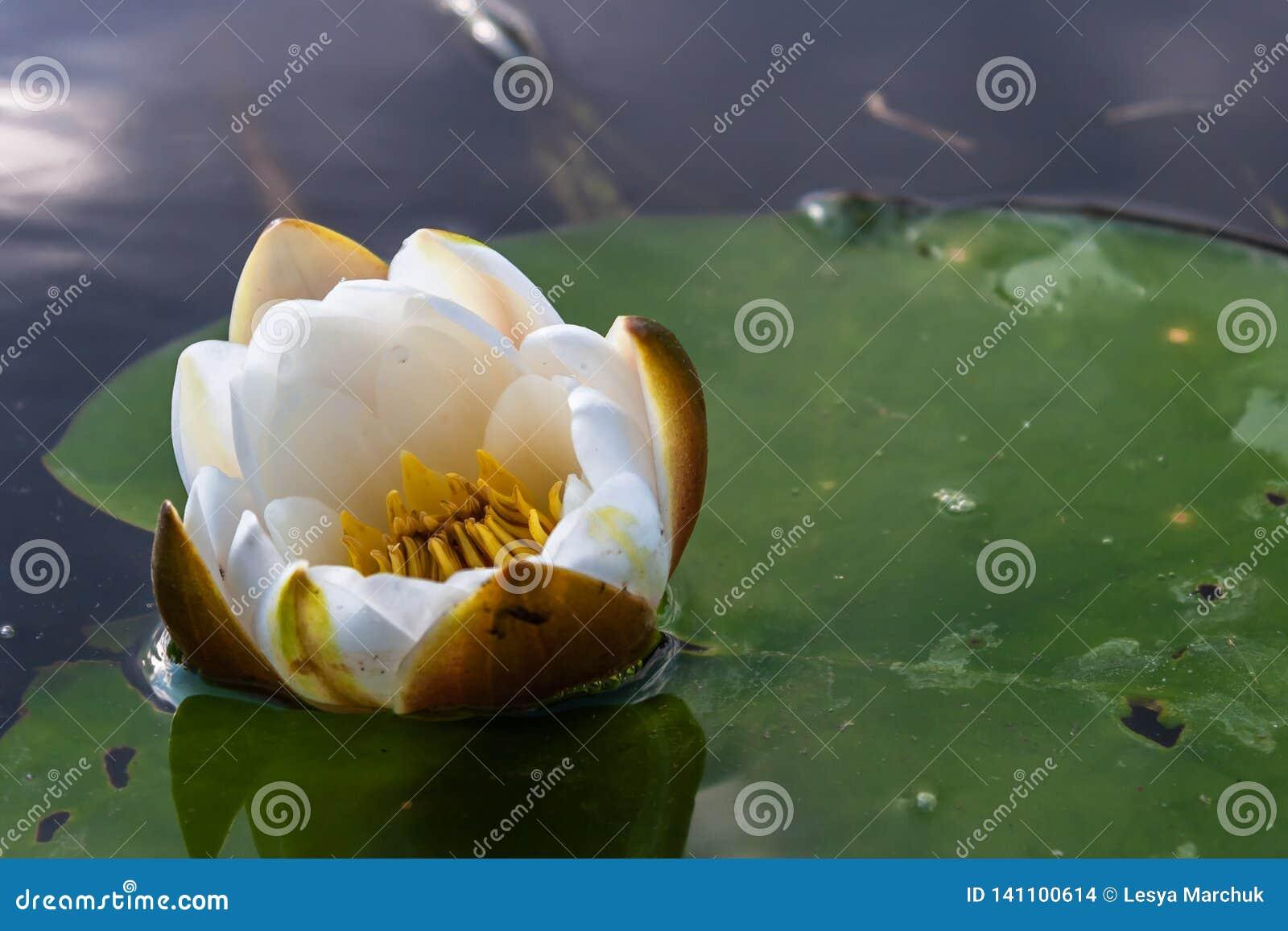 Красивый цветок лотоса плавая над водой