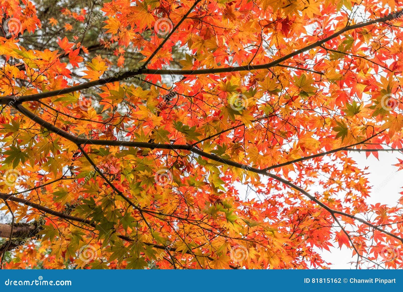 Красивый цвет кленовых листов в осени