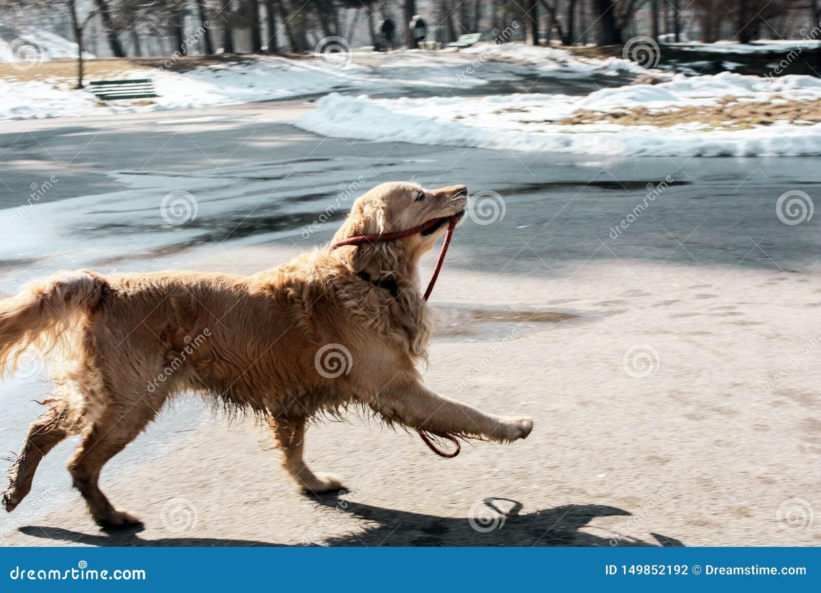 Красивый щенок золотого retriever держа свой поводок счастливый в зиме