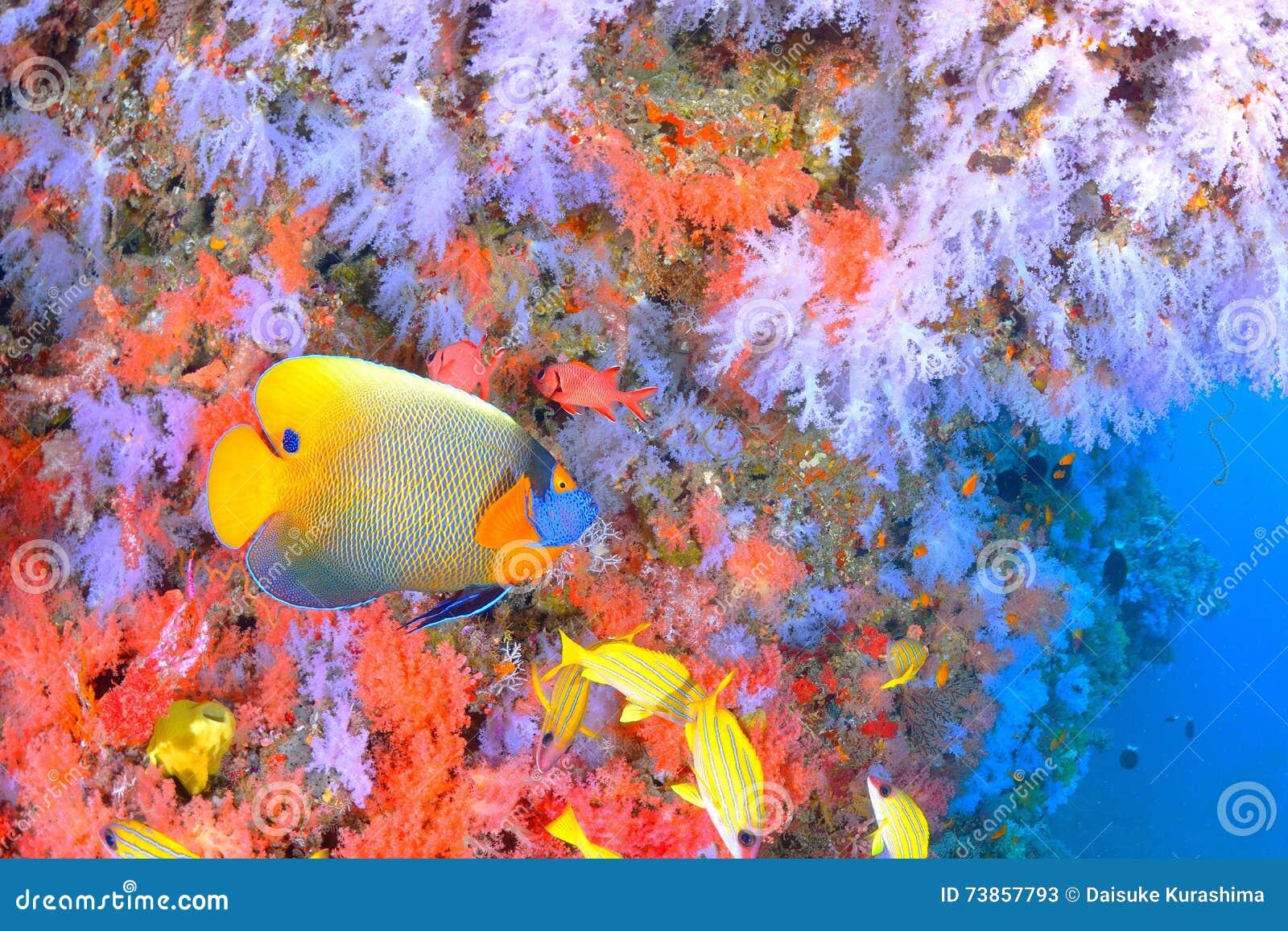 Красивый softcoral и голубой смотреть на angelfish