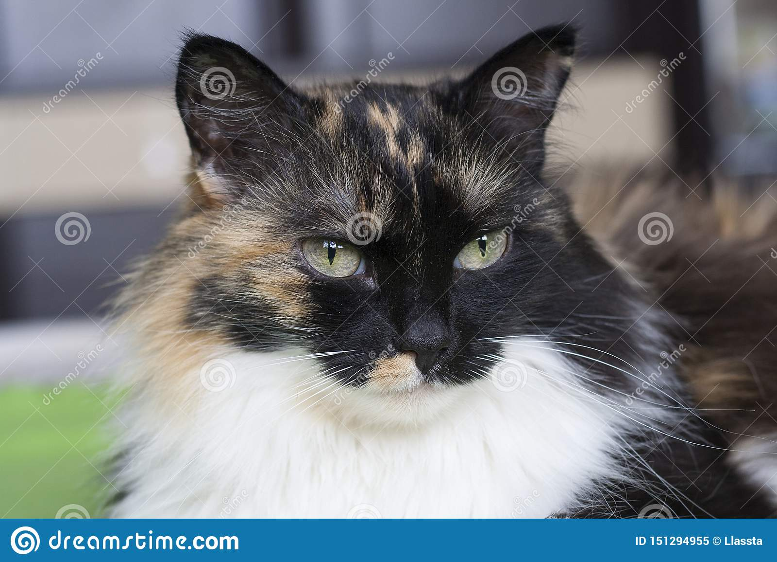 Красивый tricolor кот, белый усик r