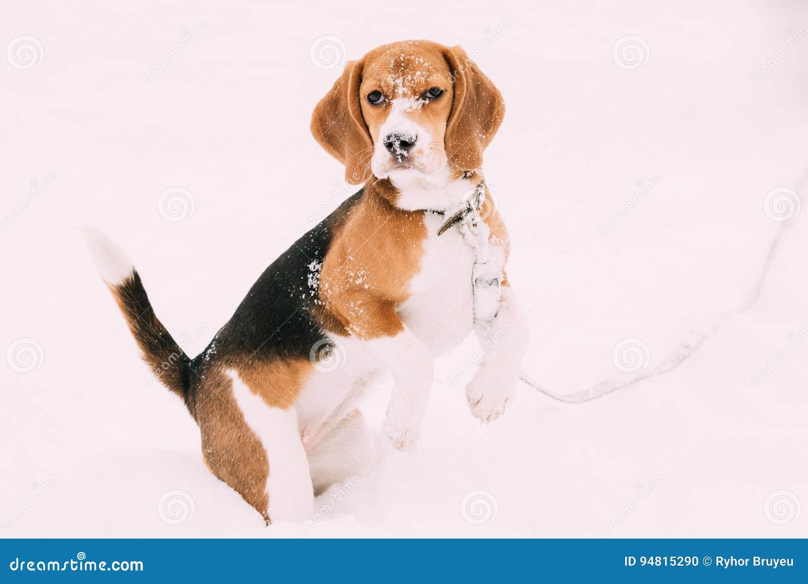 Красивый Tricolor щенок английского бигля играя в снеге на зимнем дне
