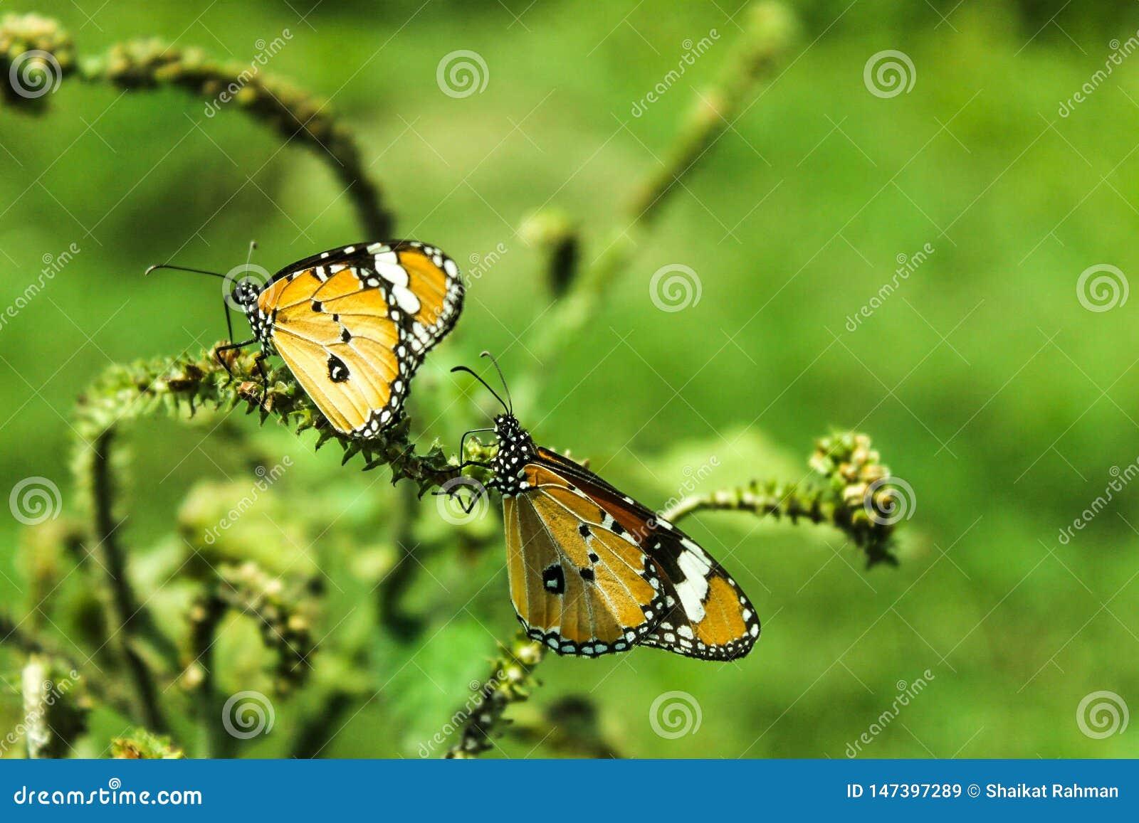 2 красивых желтых бабочки на дереве