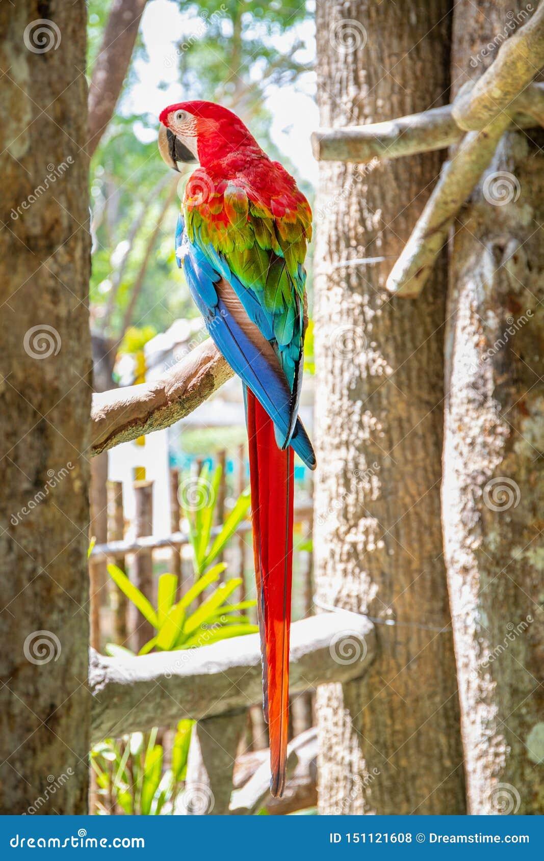 Красная ара шарлаха попугая, Ara Макао, птица сидя на хоботе пальмы