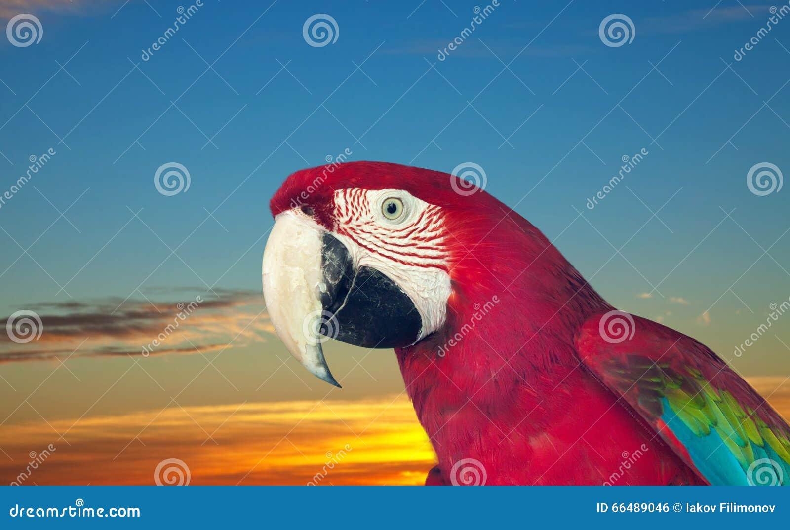 Красная ара