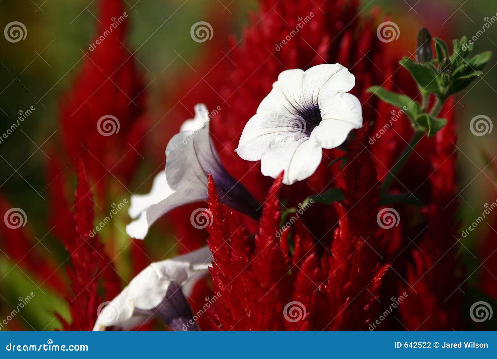 Download красная белизна стоковое фото. изображение насчитывающей весна - 642522