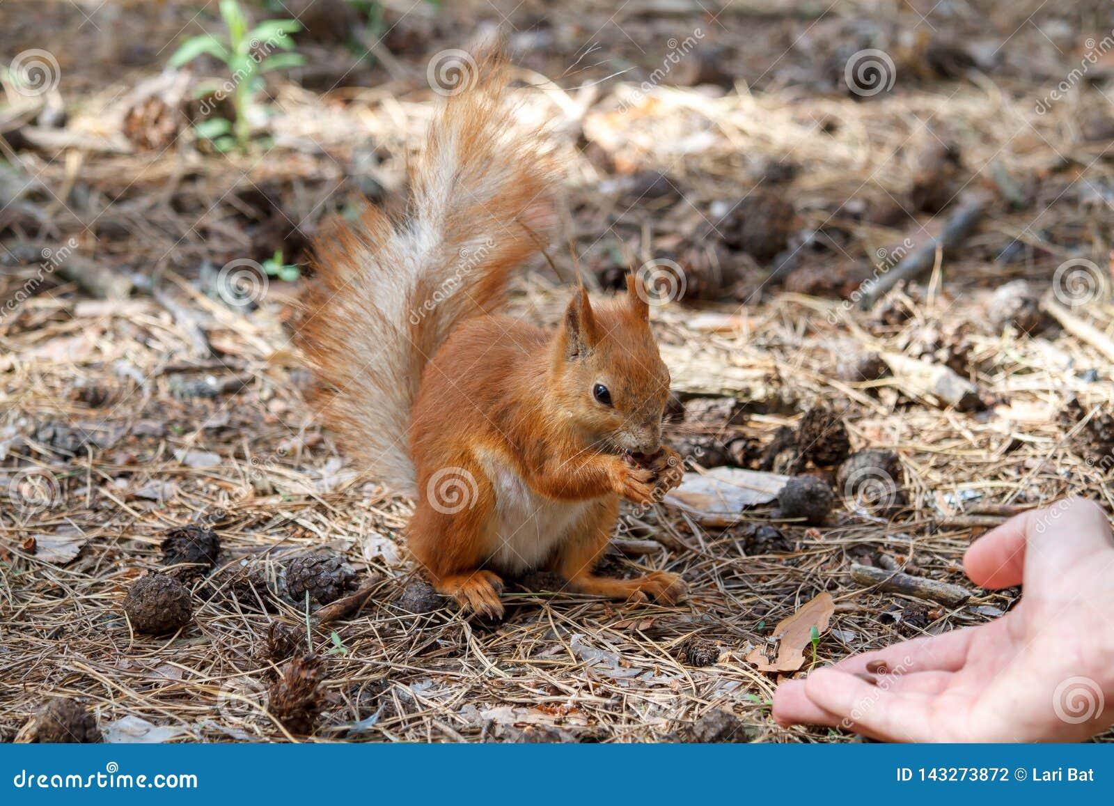 Красная белка грызет гайки в парке