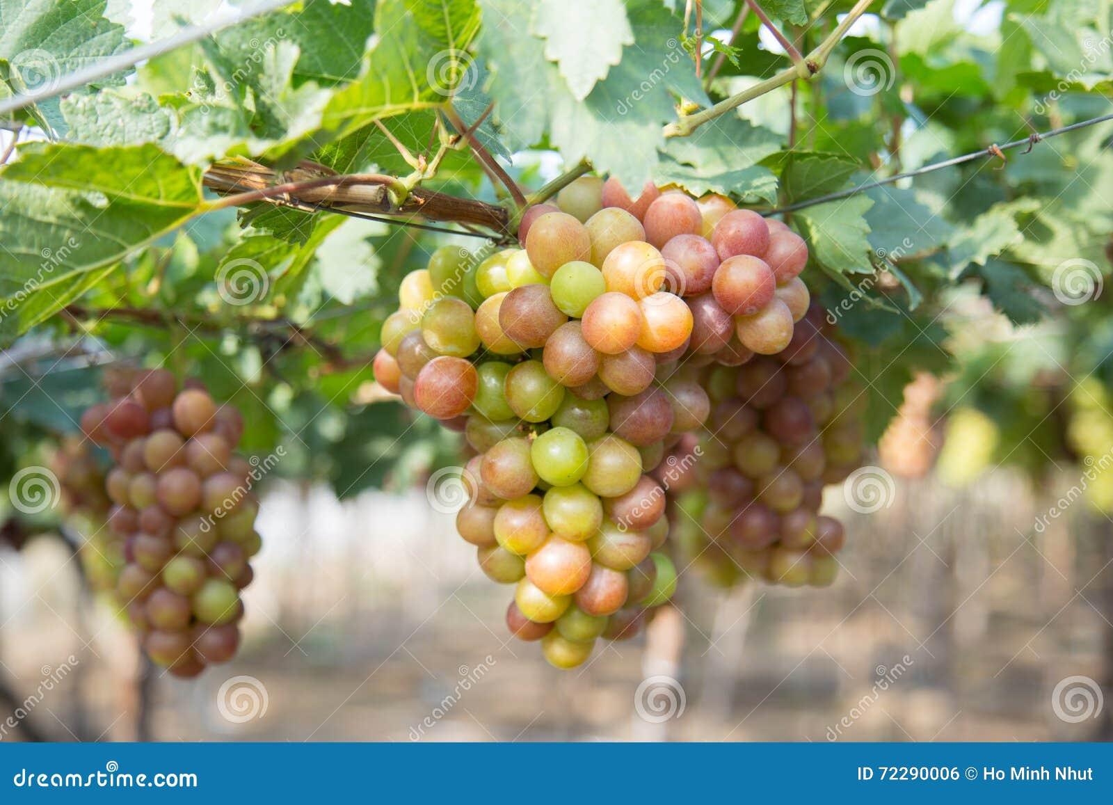 Download Красная виноградина на Вьетнаме Стоковое Фото - изображение насчитывающей outdoors, еда: 72290006