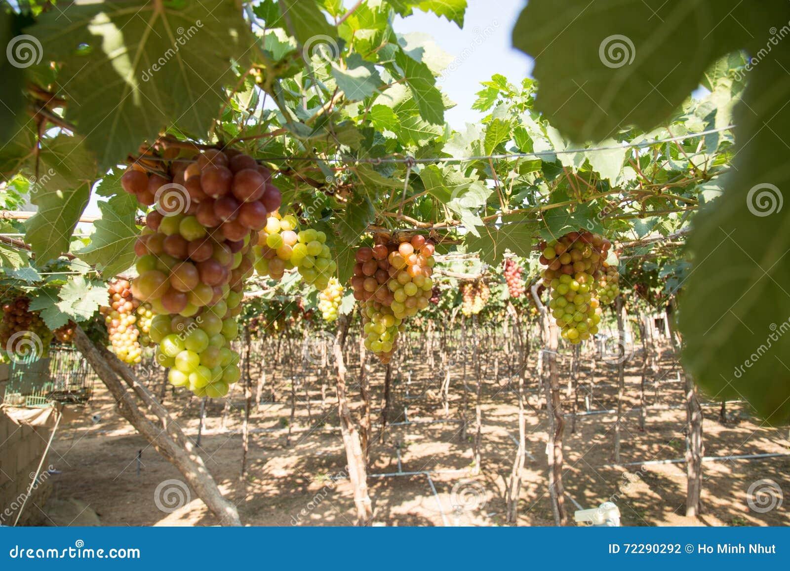 Download Красная виноградина на Вьетнаме Стоковое Фото - изображение насчитывающей ферма, зрело: 72290292