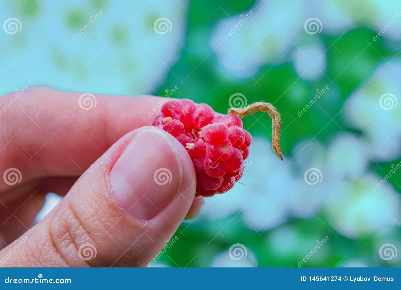Красная зрелая поленика с червем держит пальцы женщины,