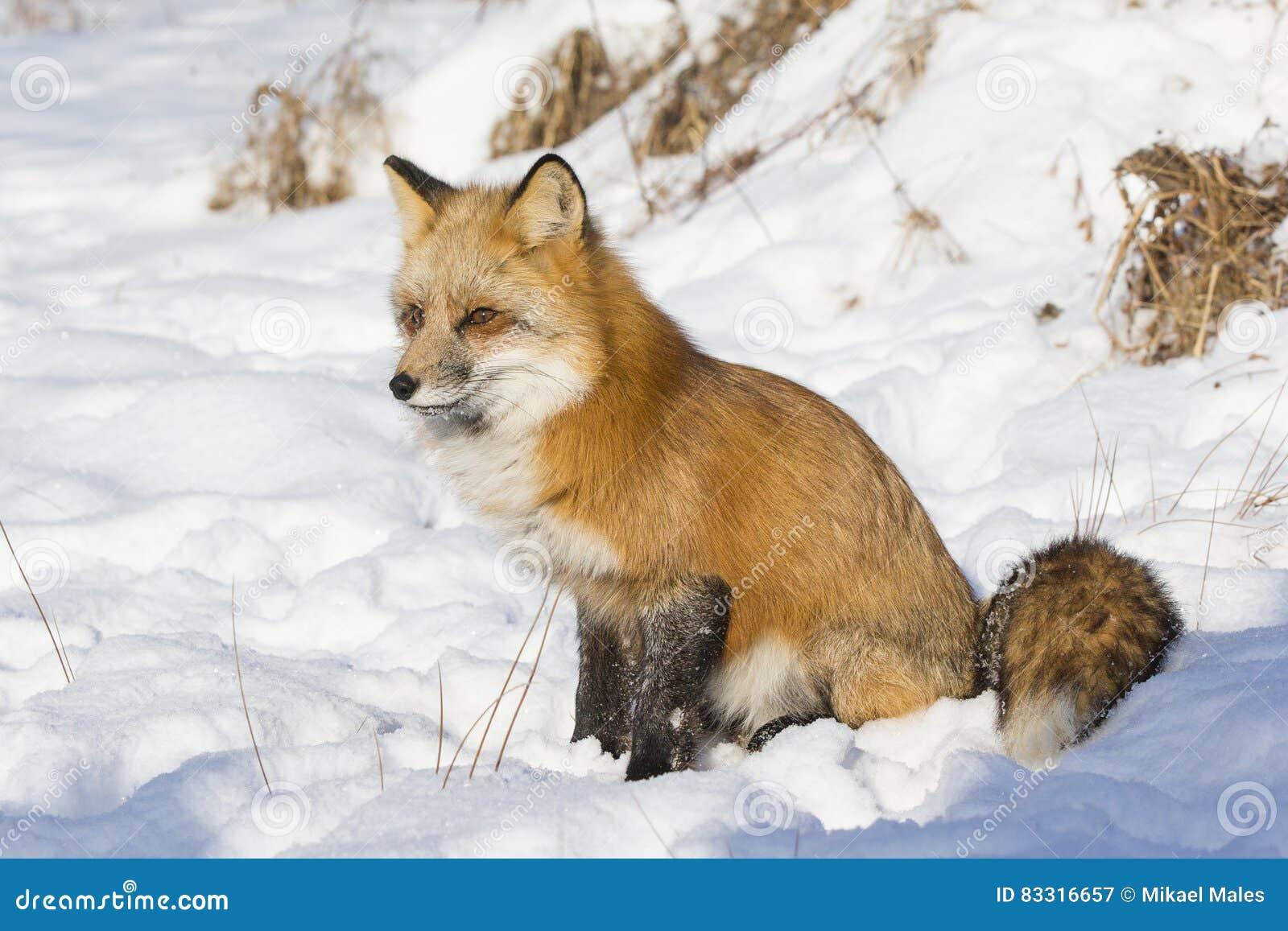 Красная лиса сидя в снеге