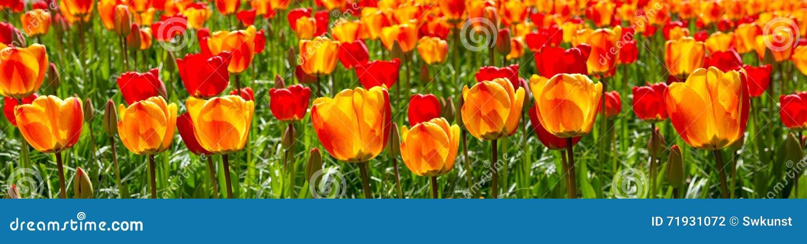 Красная и оранжевая предпосылка тюльпанов