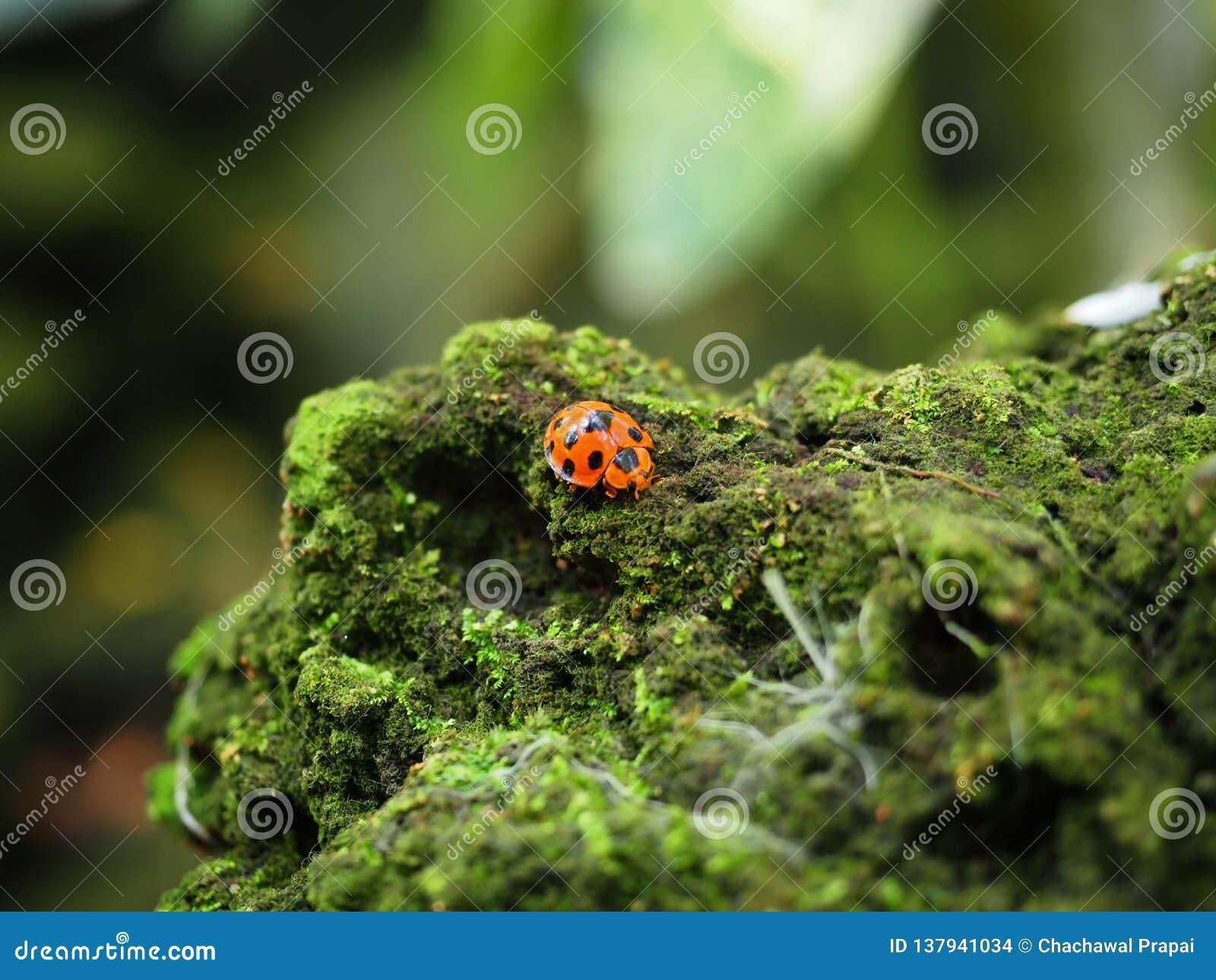 Красная ошибка жука идя на утес который coverd в зеленых грибке и мхе Выбранный фокус