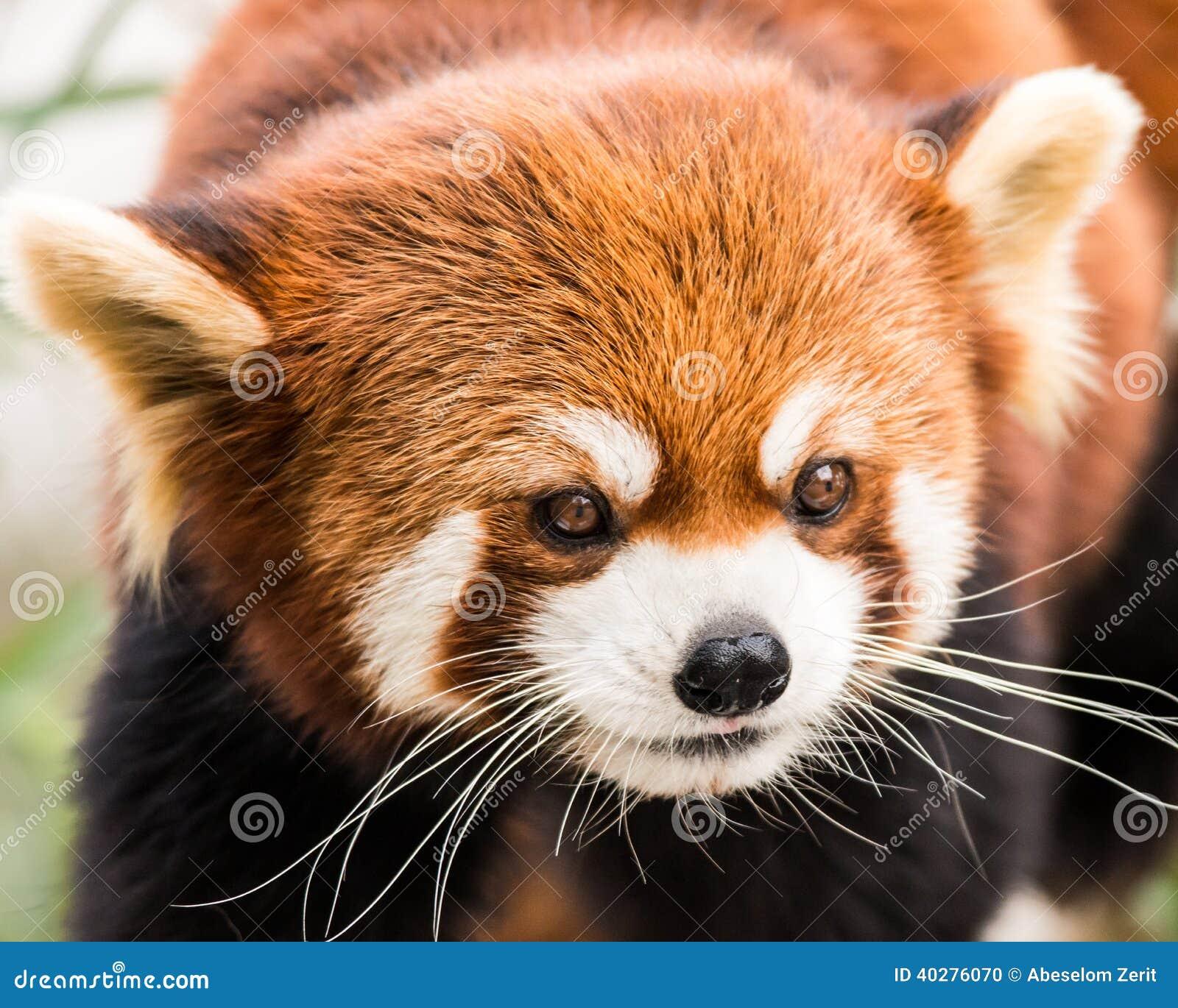 Красная панда VII