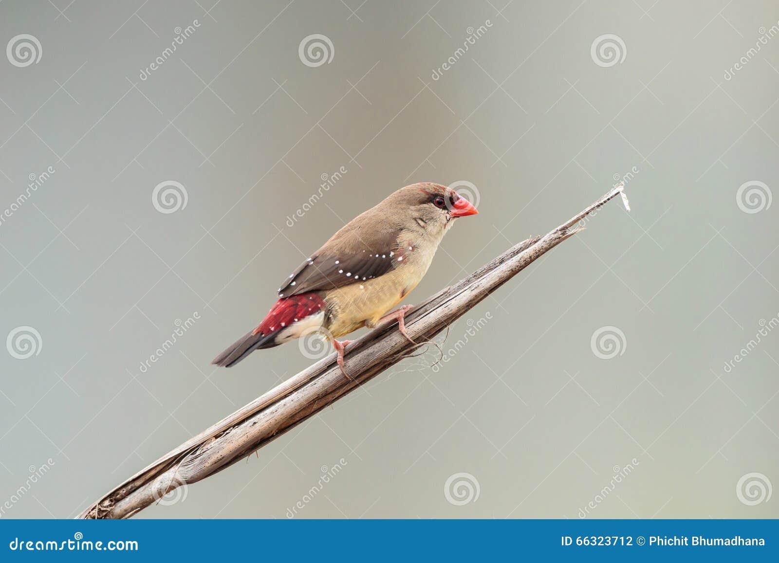 Красная птица Avadavet [amandava Amandava]
