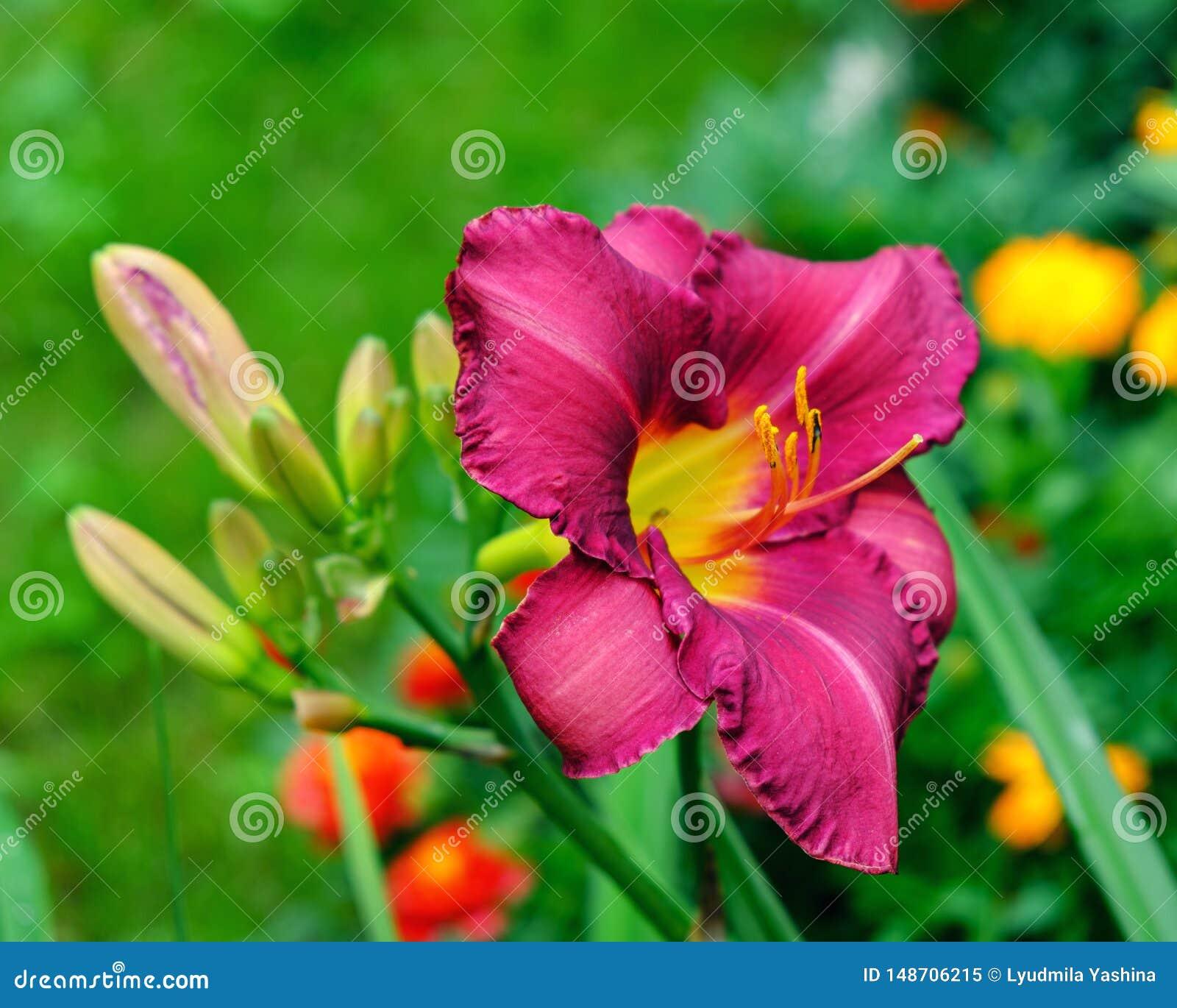 Красная радужка в саде