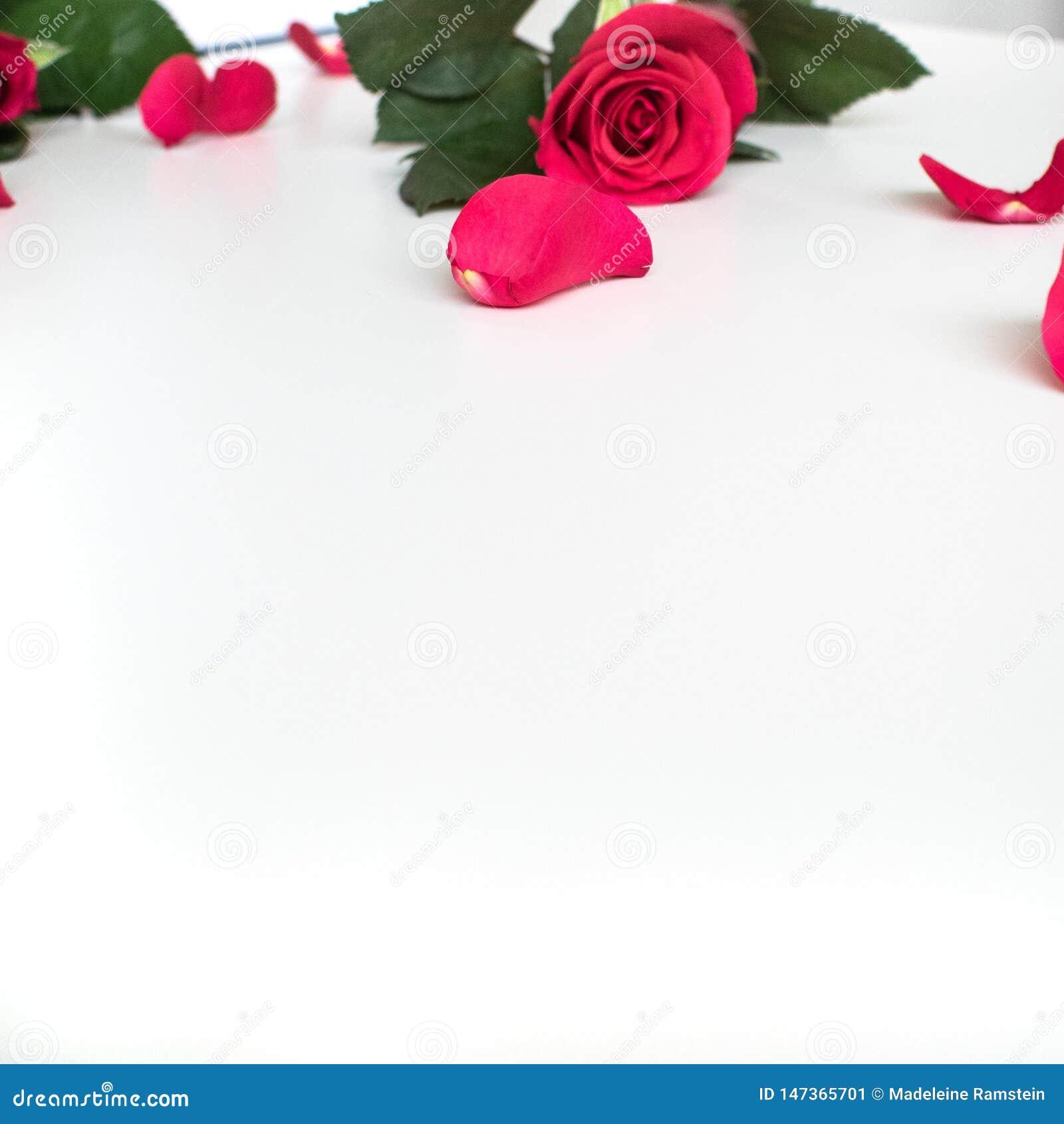 Красная роза на белой таблице с красными лепестками
