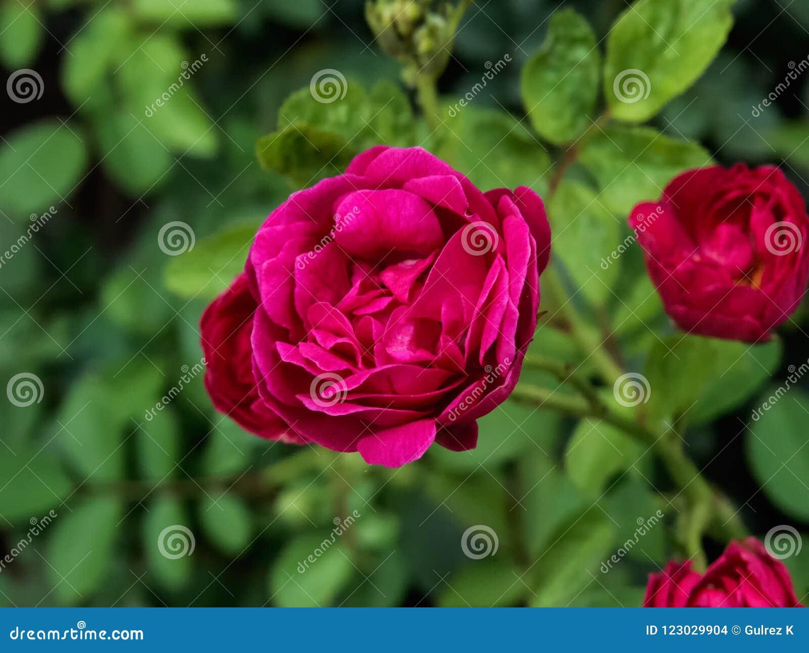 Красная роза на заводе, с зеленой лист-Индией