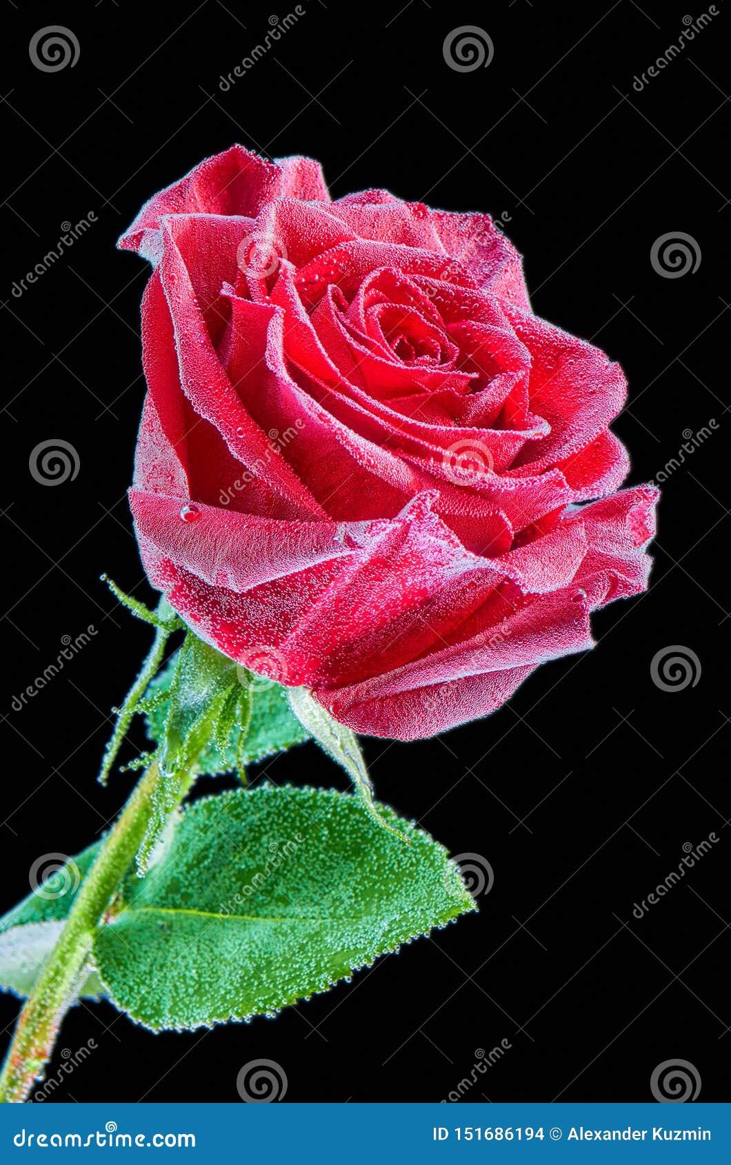 Красная роза под водой с пузырями на черной предпосылке Изображение крупного плана изолированное на черной предпосылке