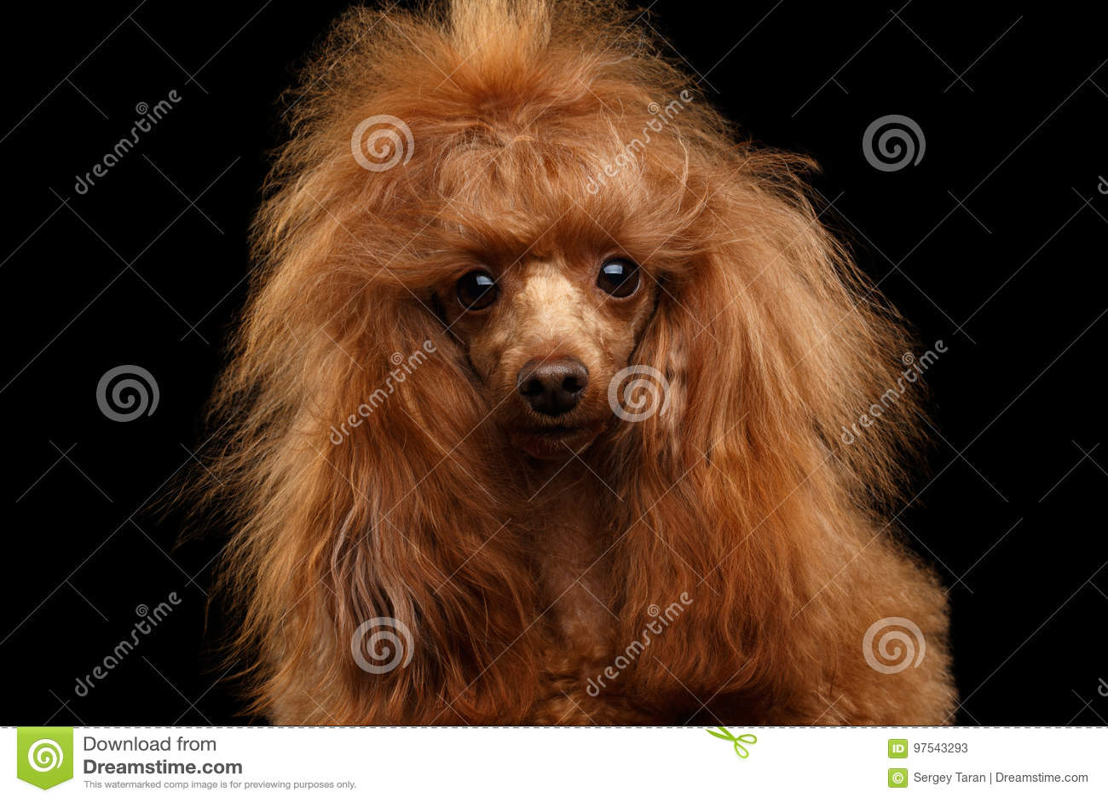 Красная собака пуделя игрушки на изолированной черной предпосылке