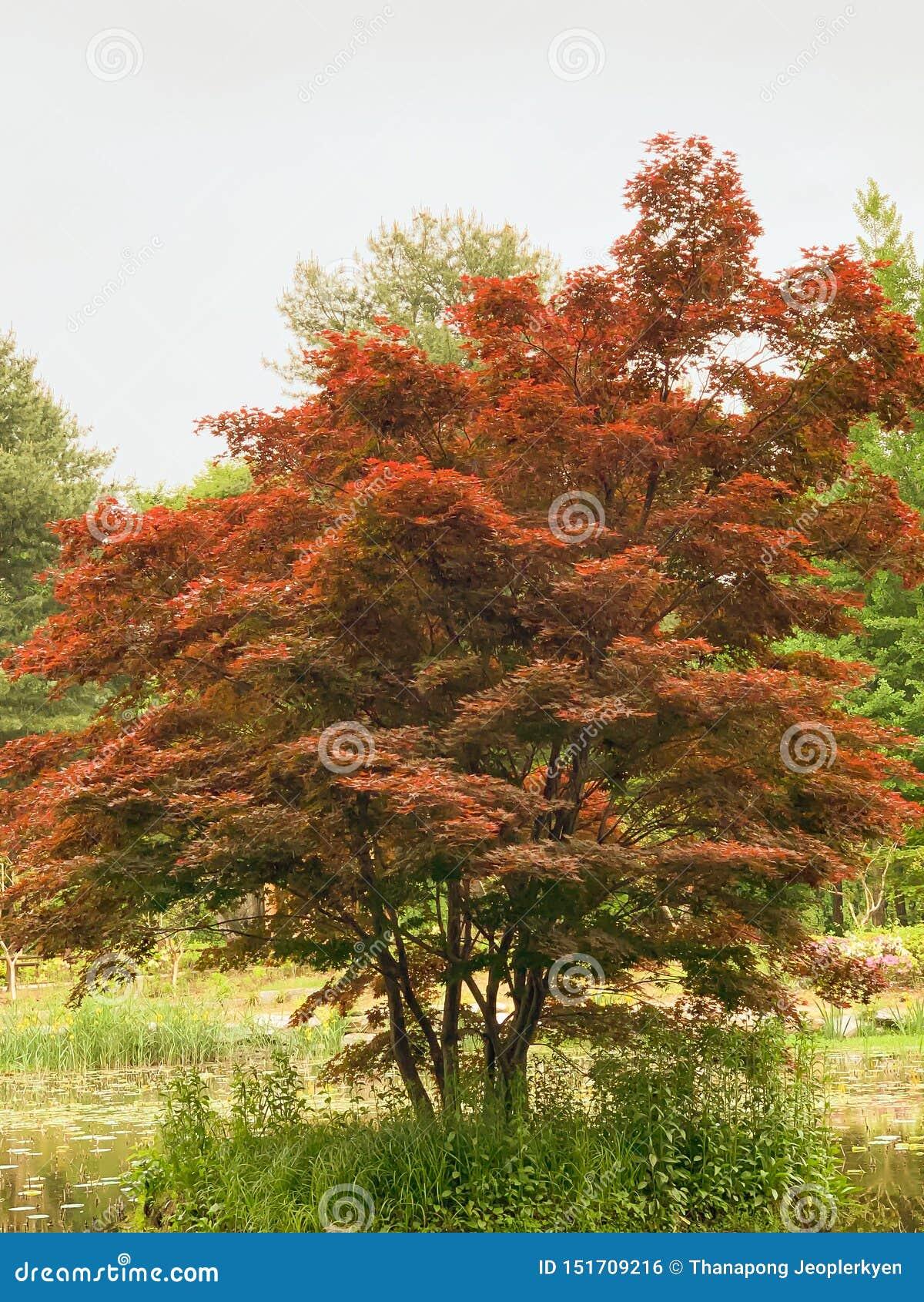 Красное дерево в парке