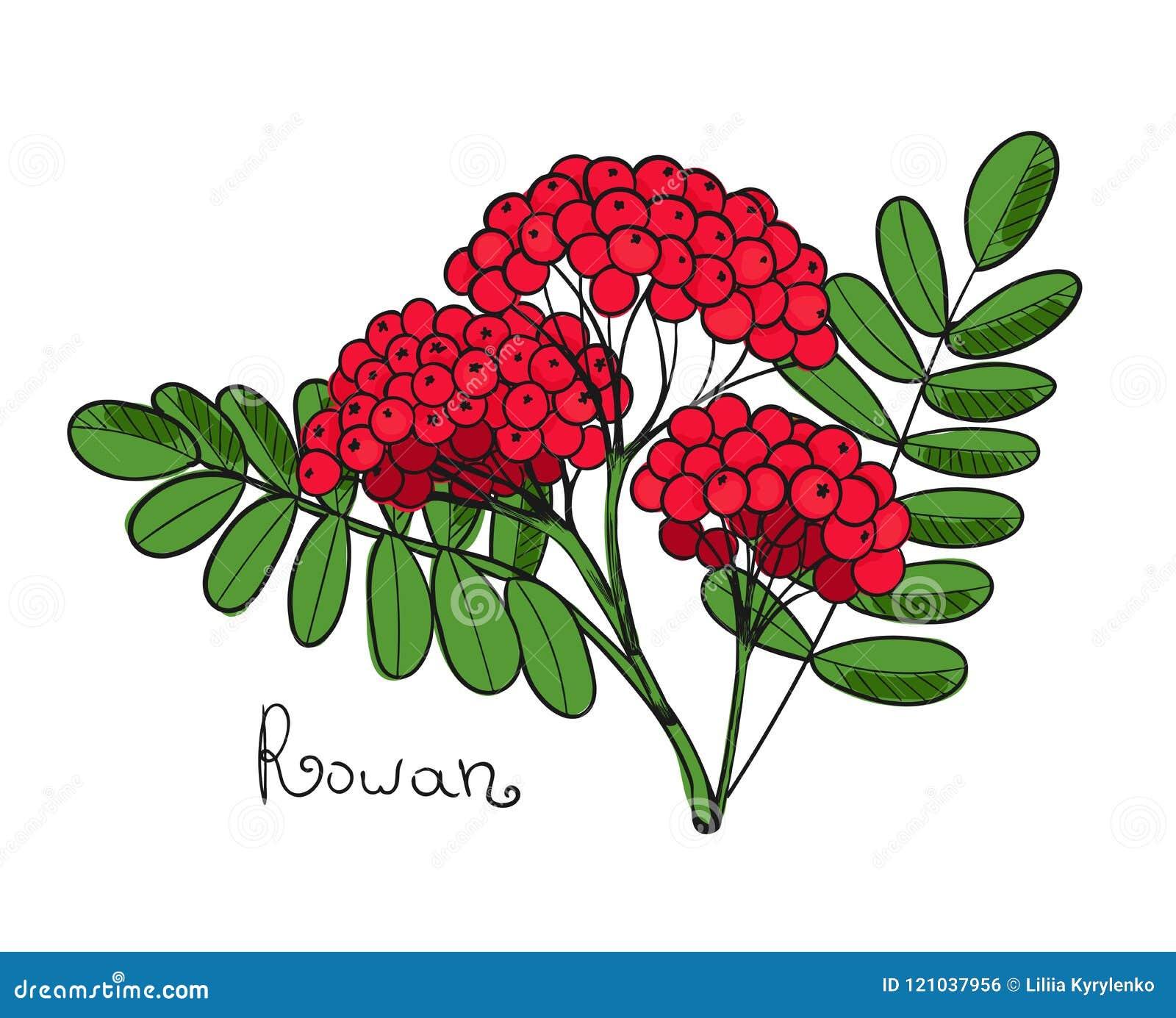 Красное дерево рябины Изолированные хворостина rowanberry или ashberry Листья и группа ягоды рябины Завтрак-обед сорбирует