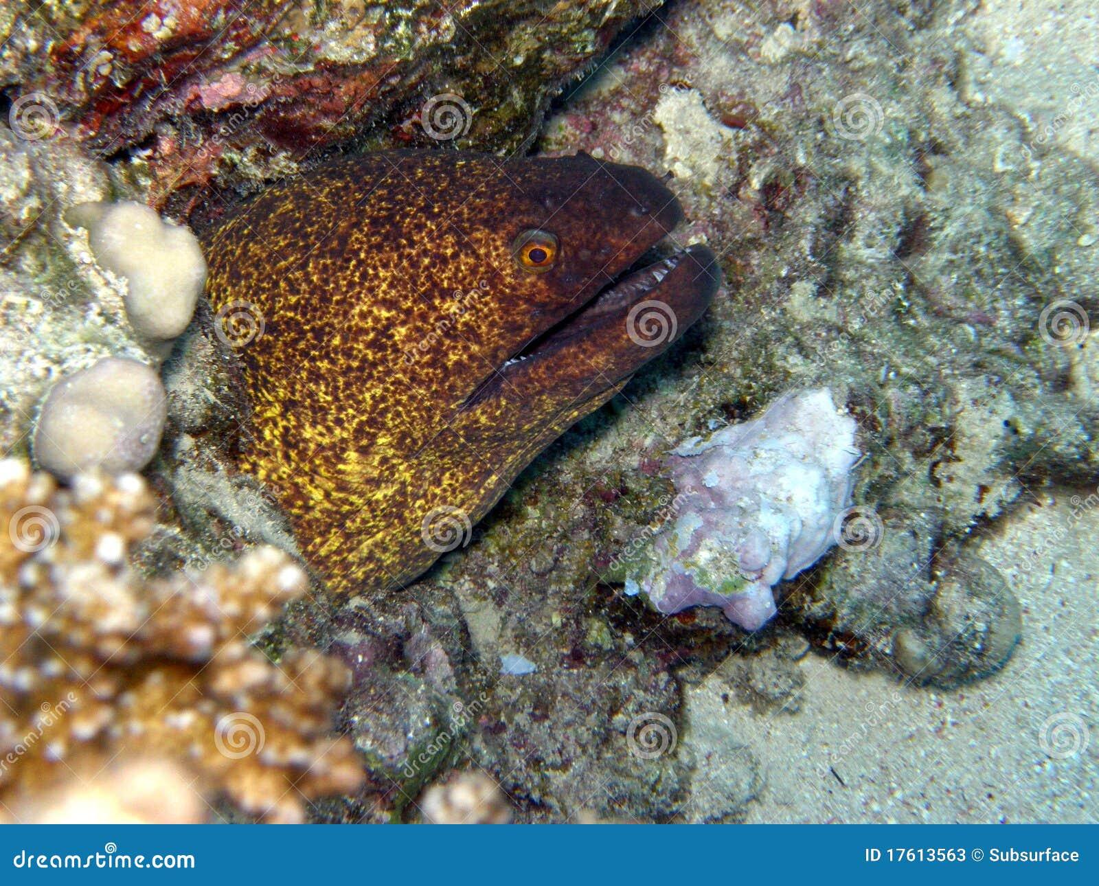 Красное Море moray eel гигантское зеленое