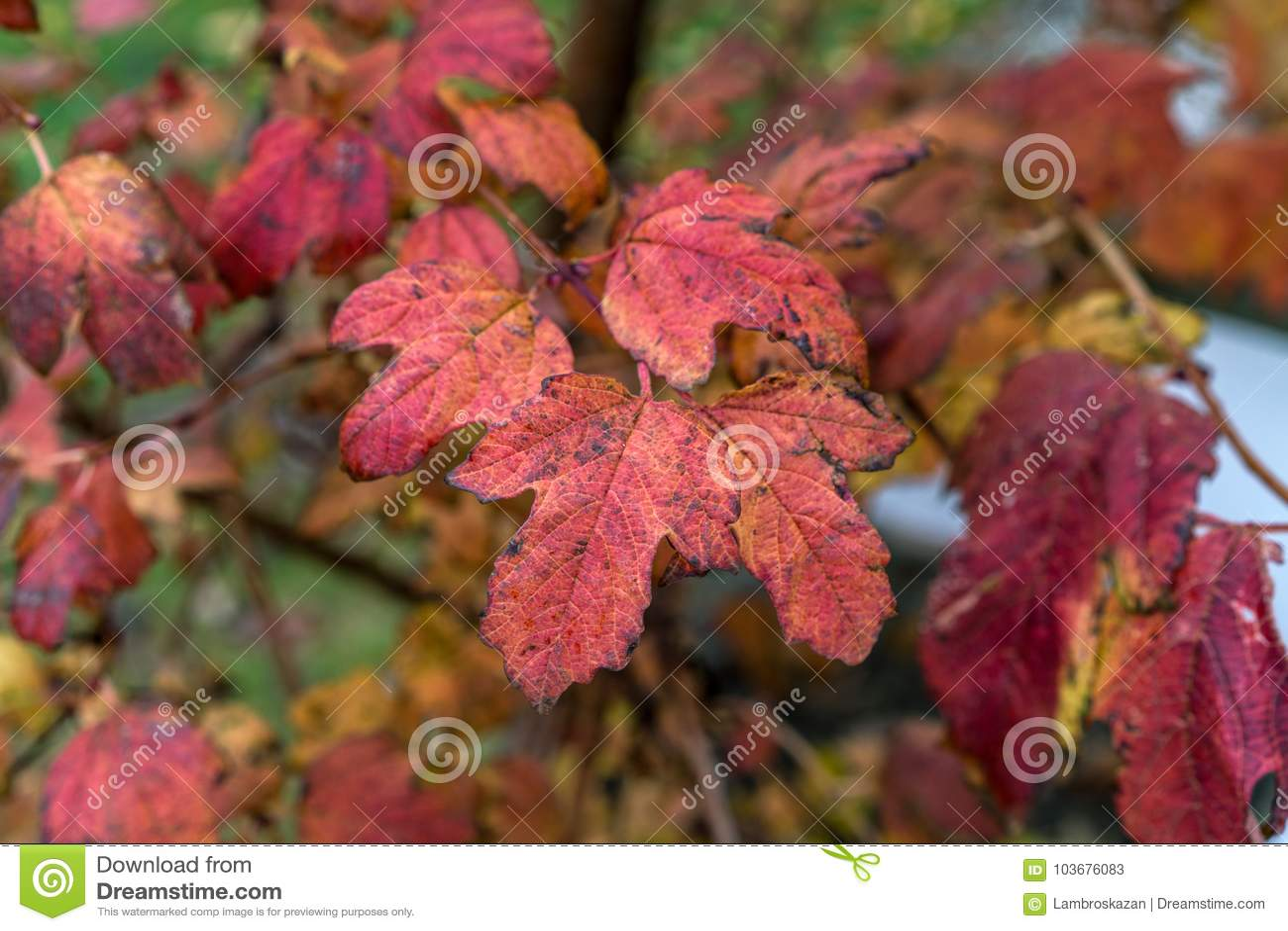 Краснокоричневая яркая осень цвета листает, прямо после дождя