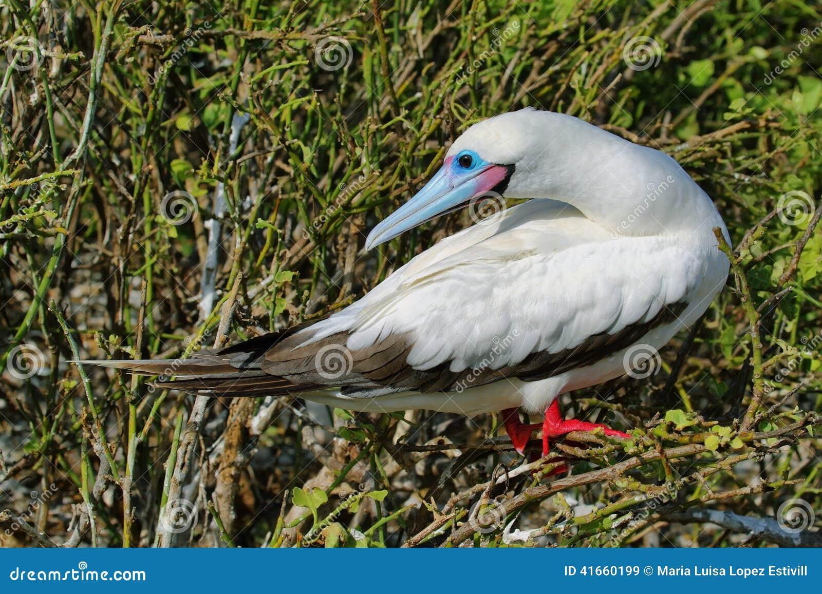 Красно-footed олух в острове Genovesa