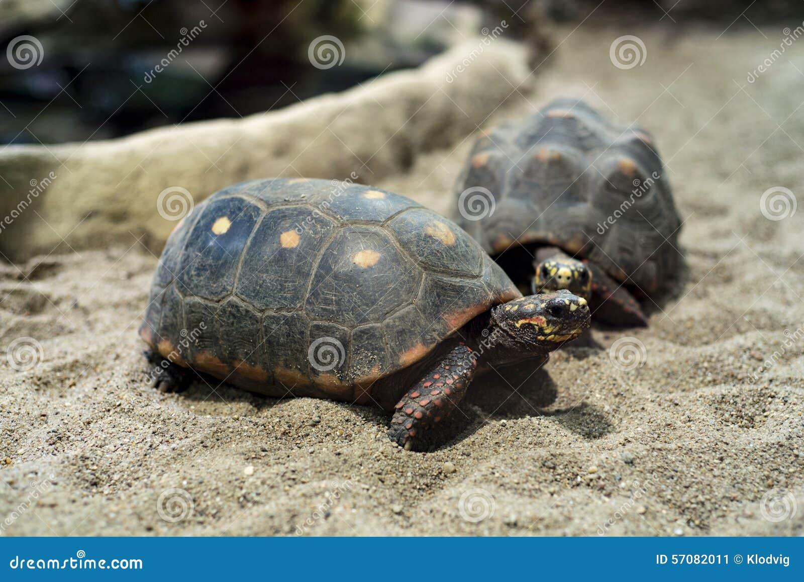 Красно-footed черепахи
