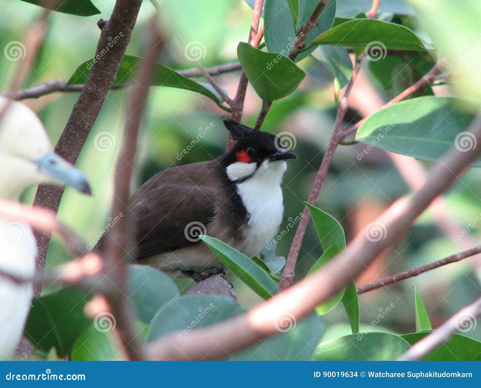 Красно--whiskered птица jocosus pycnonotus bulbul