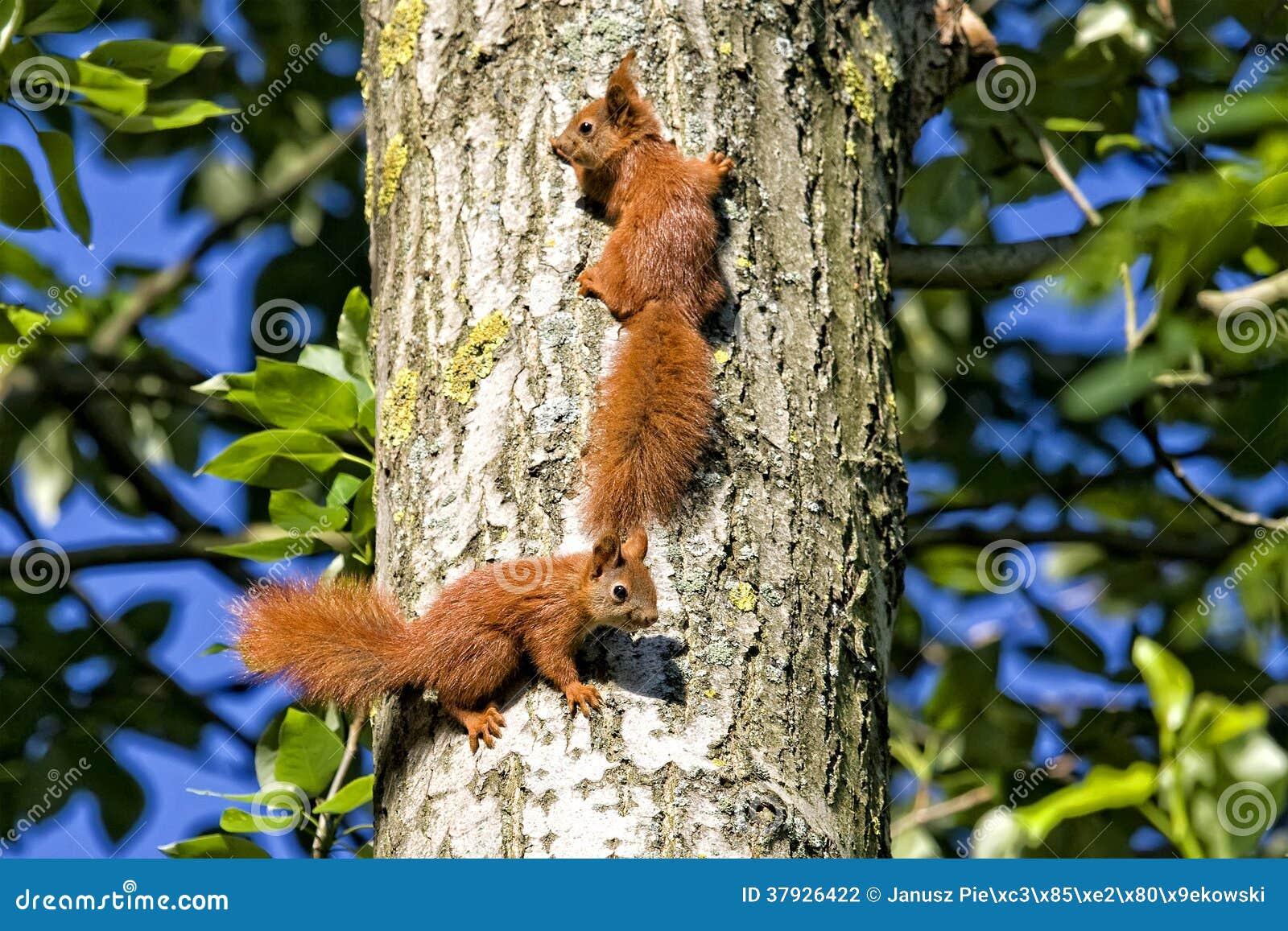 Красные белки в древесинах