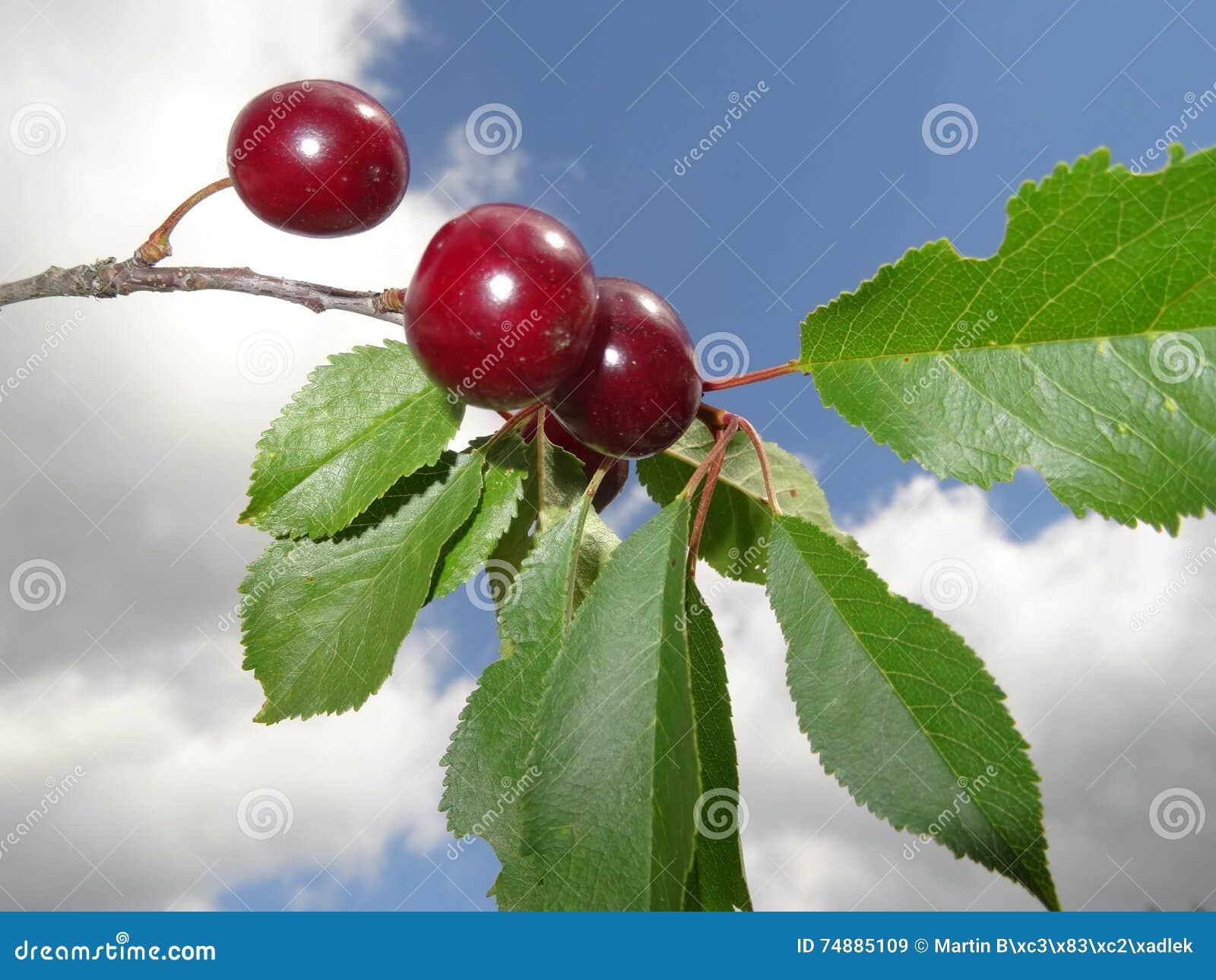 Красные вишни