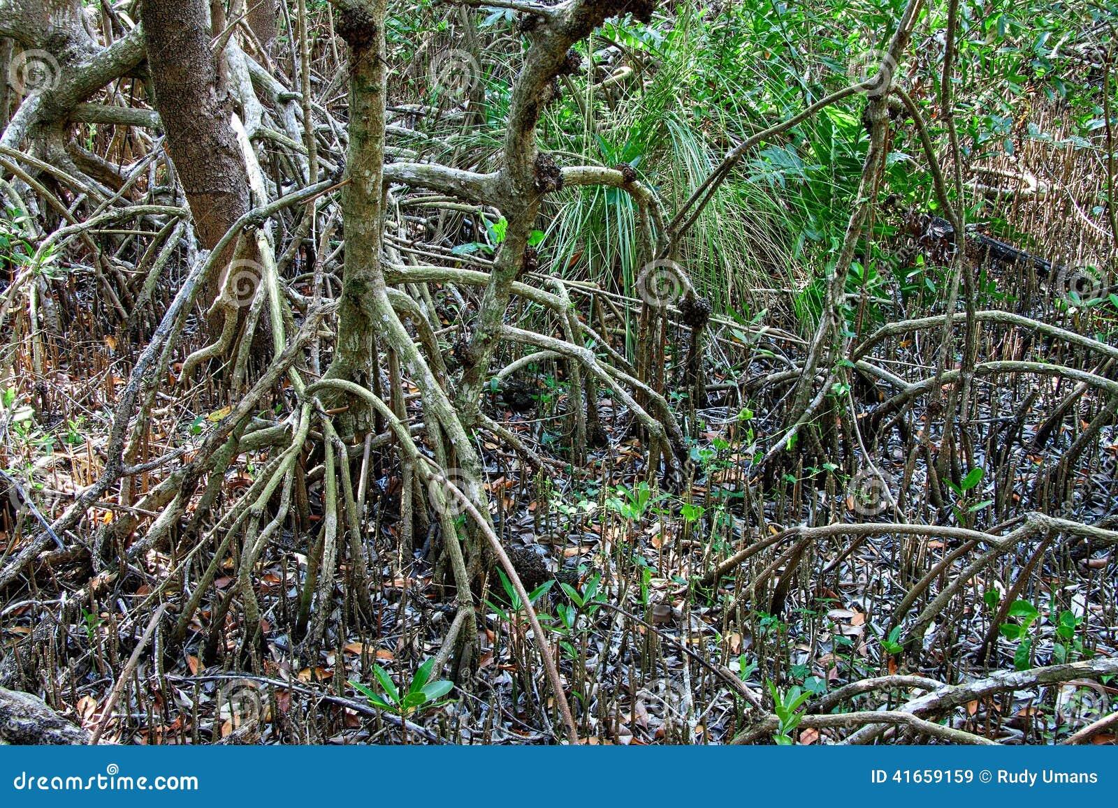 Красные деревья мангровы