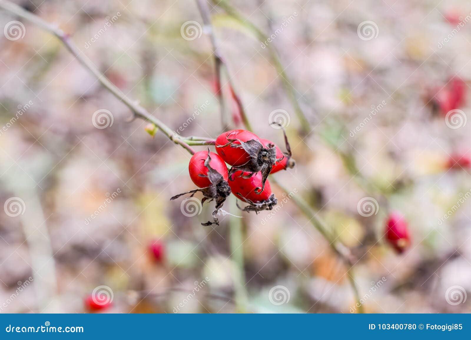 Красные зрелые ягоды briar, фото макроса Бедра bush с зрелыми ягодами Ягоды dogrose на кусте Плодоовощи одичалых роз Терновая соб