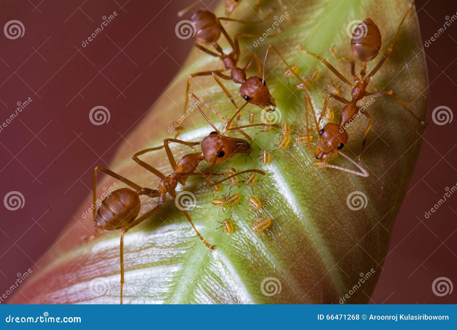 Красные муравьи и тли на лист